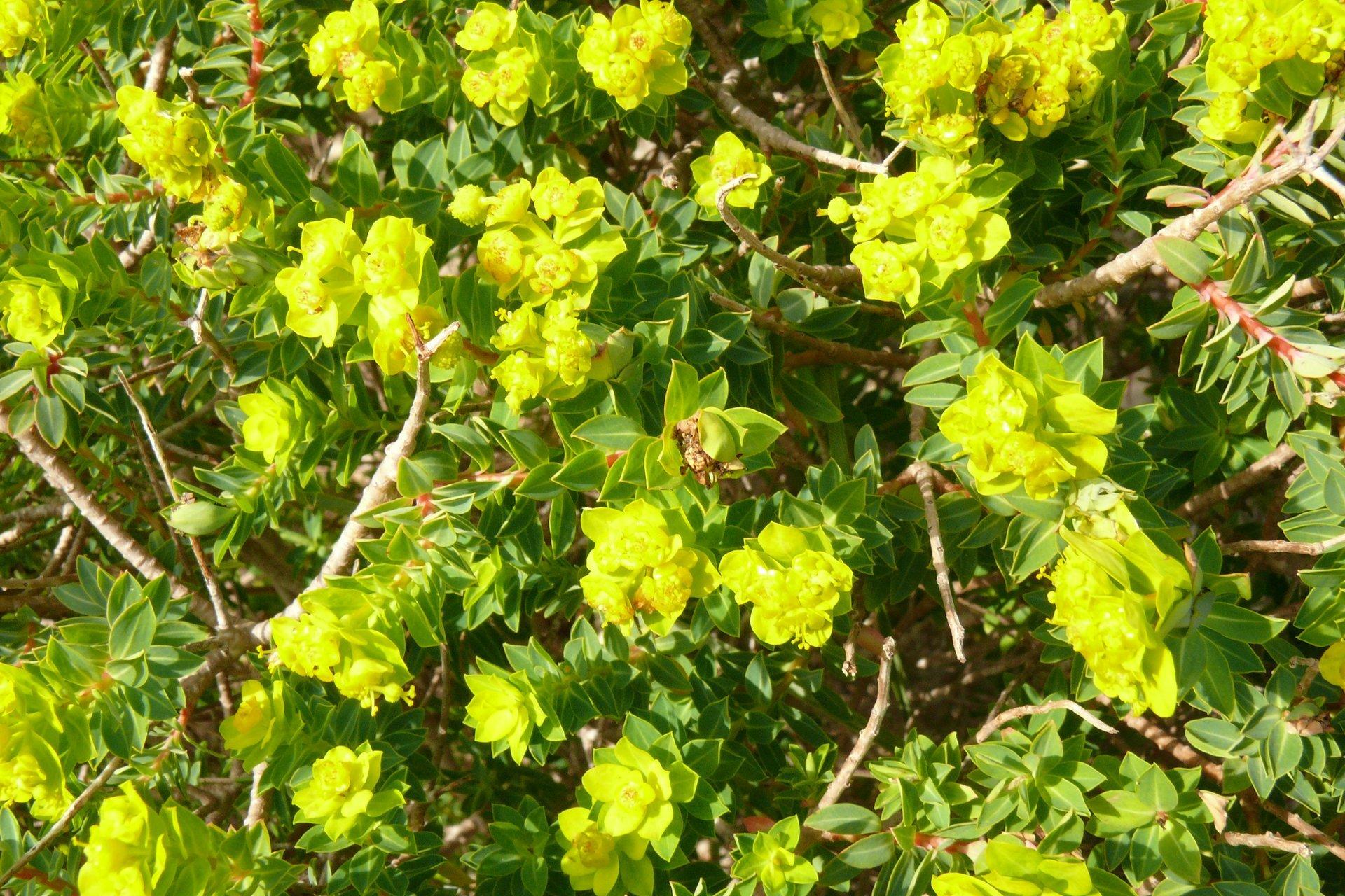 Maltese Spurge Flowering Season in Malta 2020 - Best Time