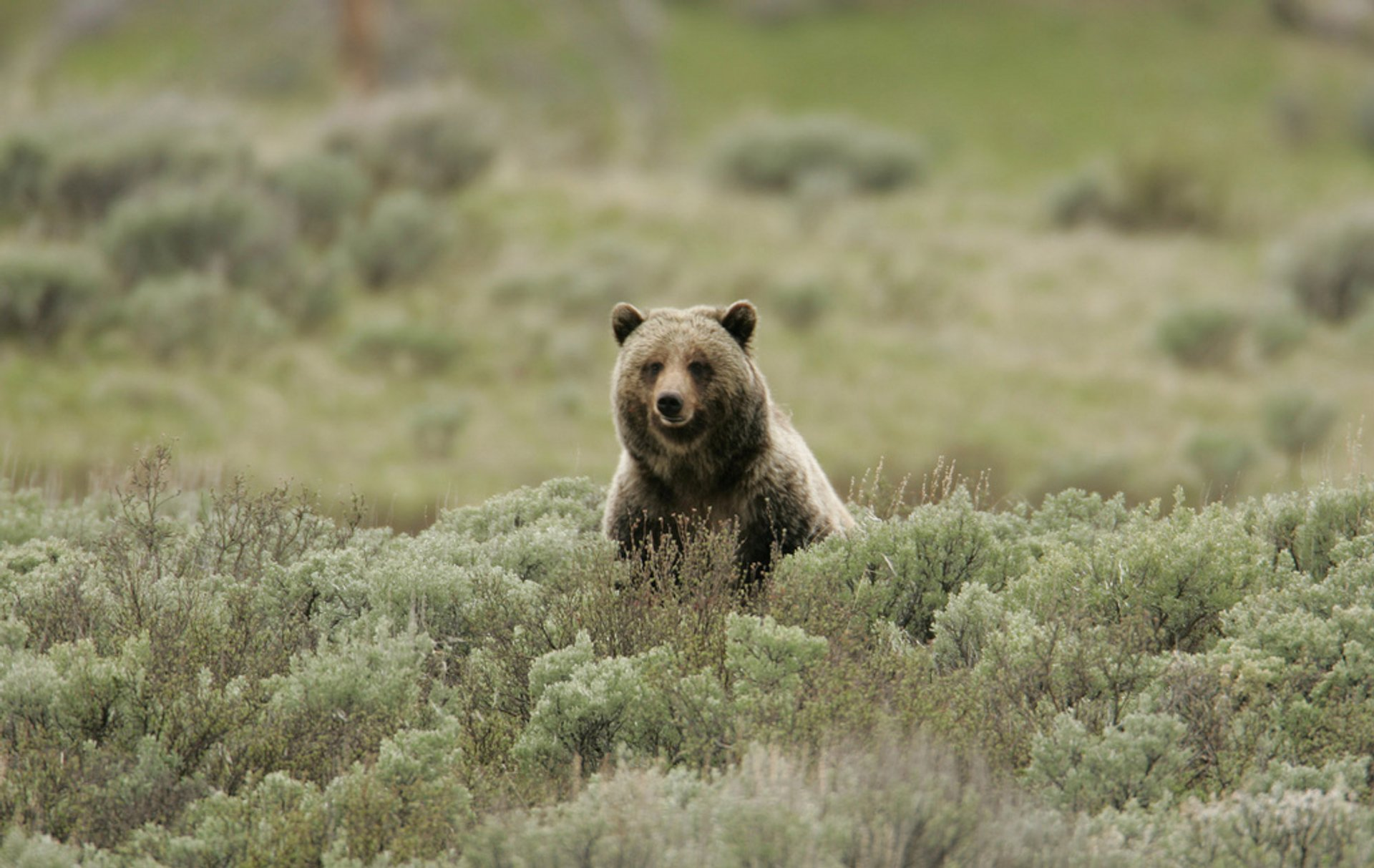 Grizzly bear on Swan Lake Flats 2019