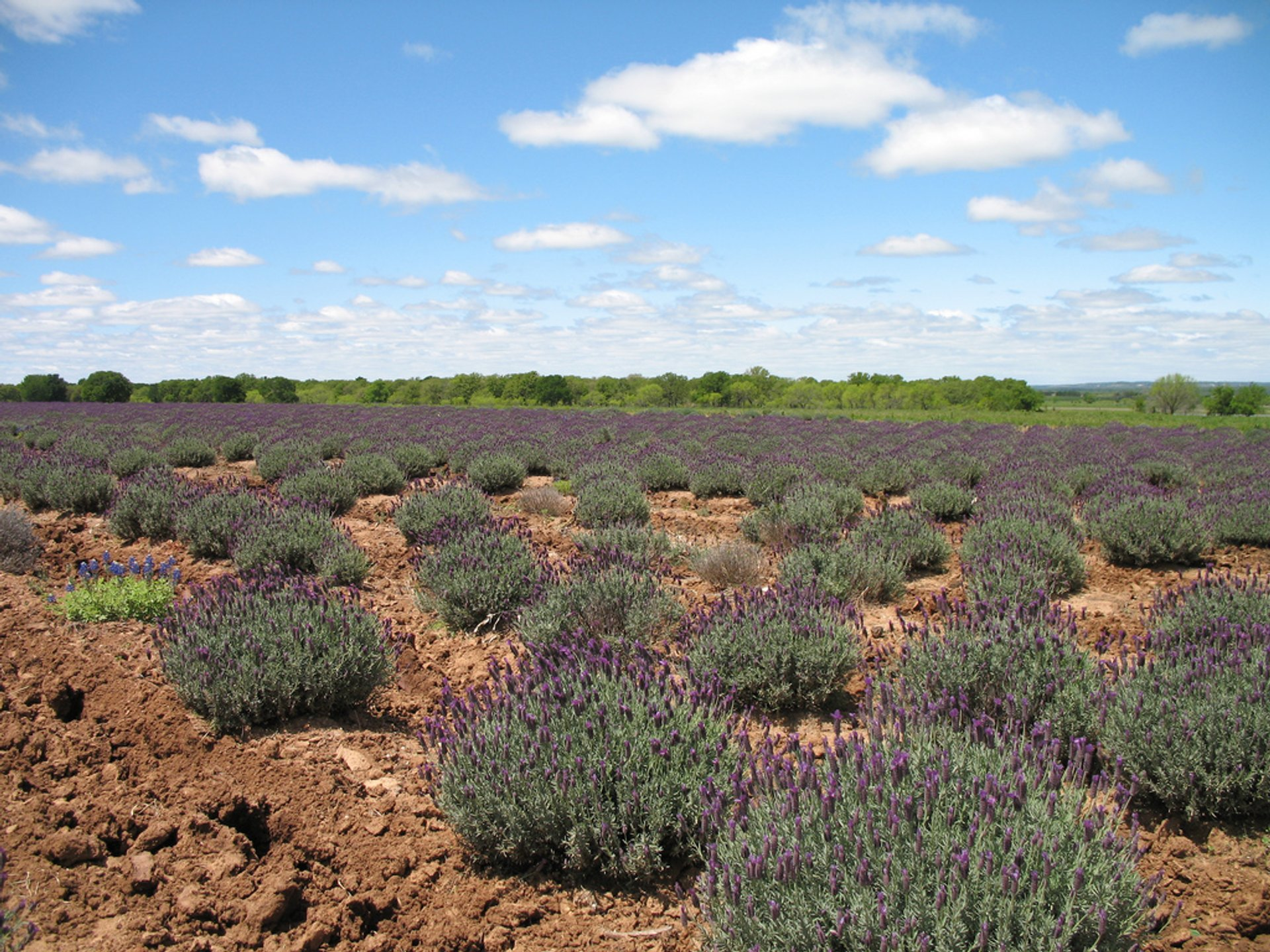 Lavender Trails in Texas 2020 - Best Time