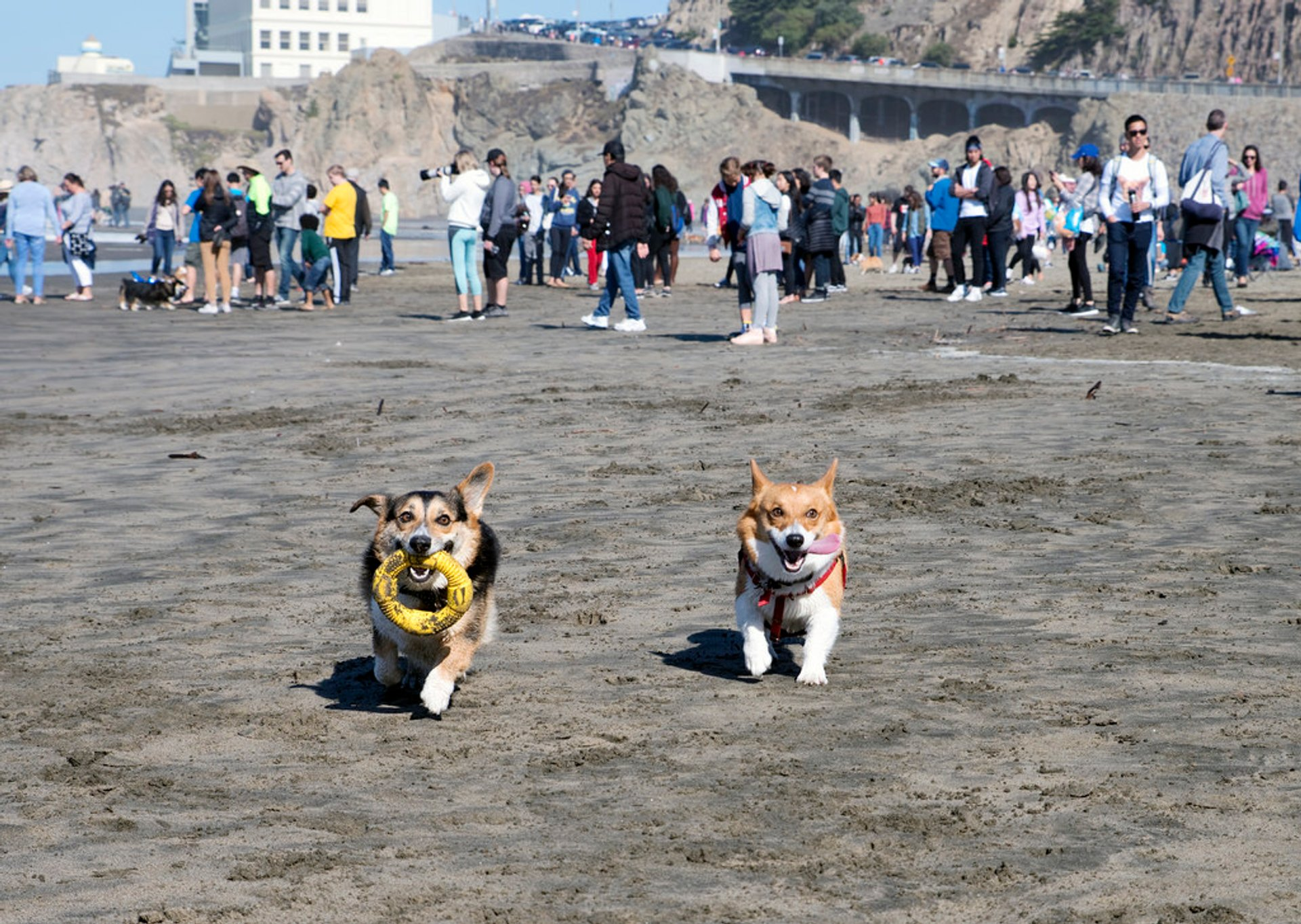 Corgi Con SF in San Francisco - Best Season 2020