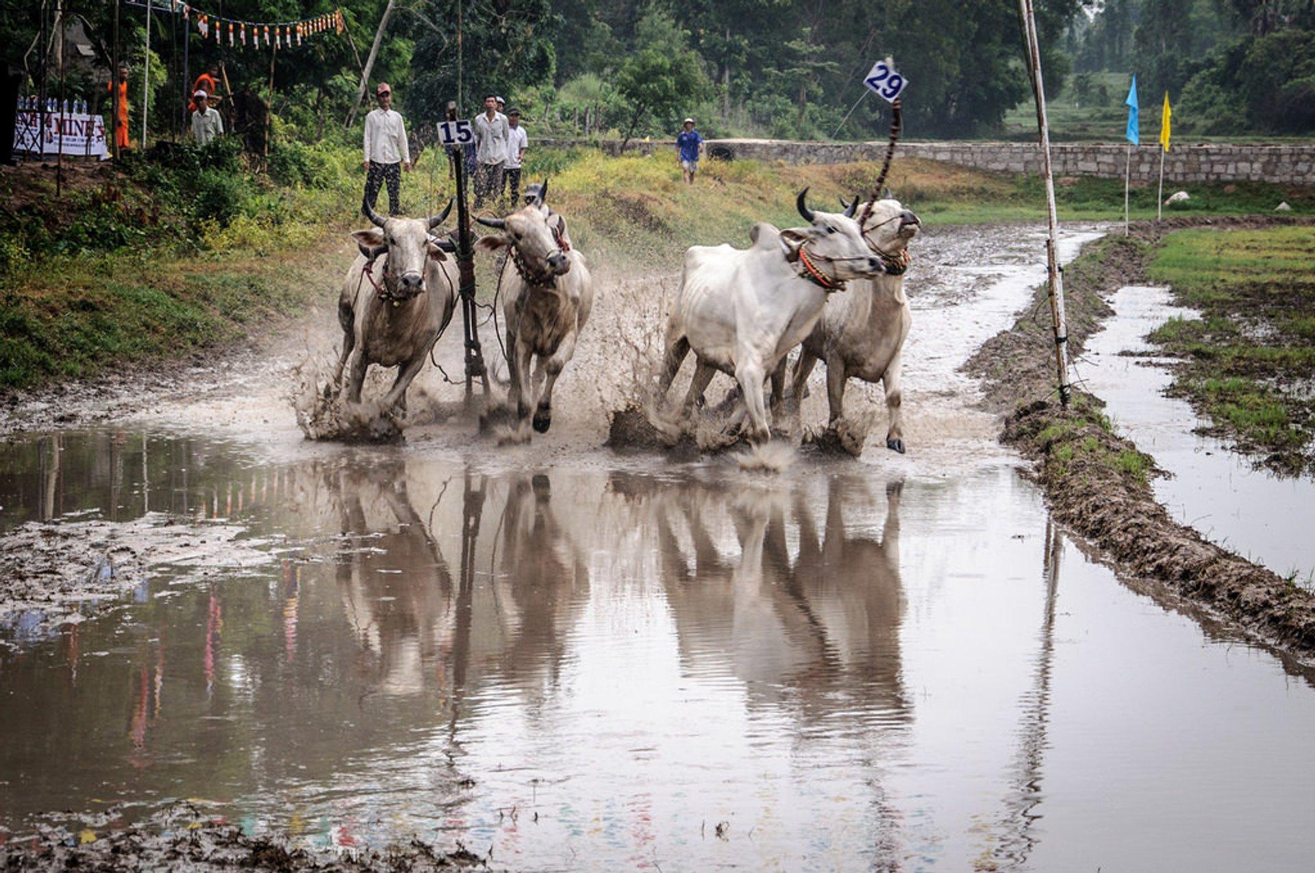 Cow Racing Festival in Vietnam - Best Season 2020