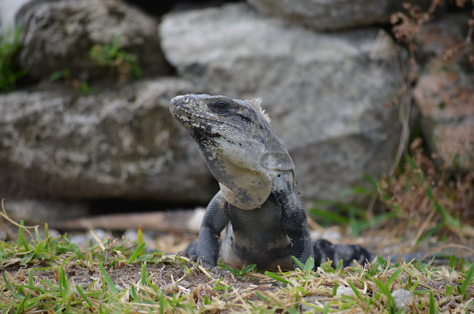 Best time to see Iguanas at El Rey Ruins in Cancun 2020