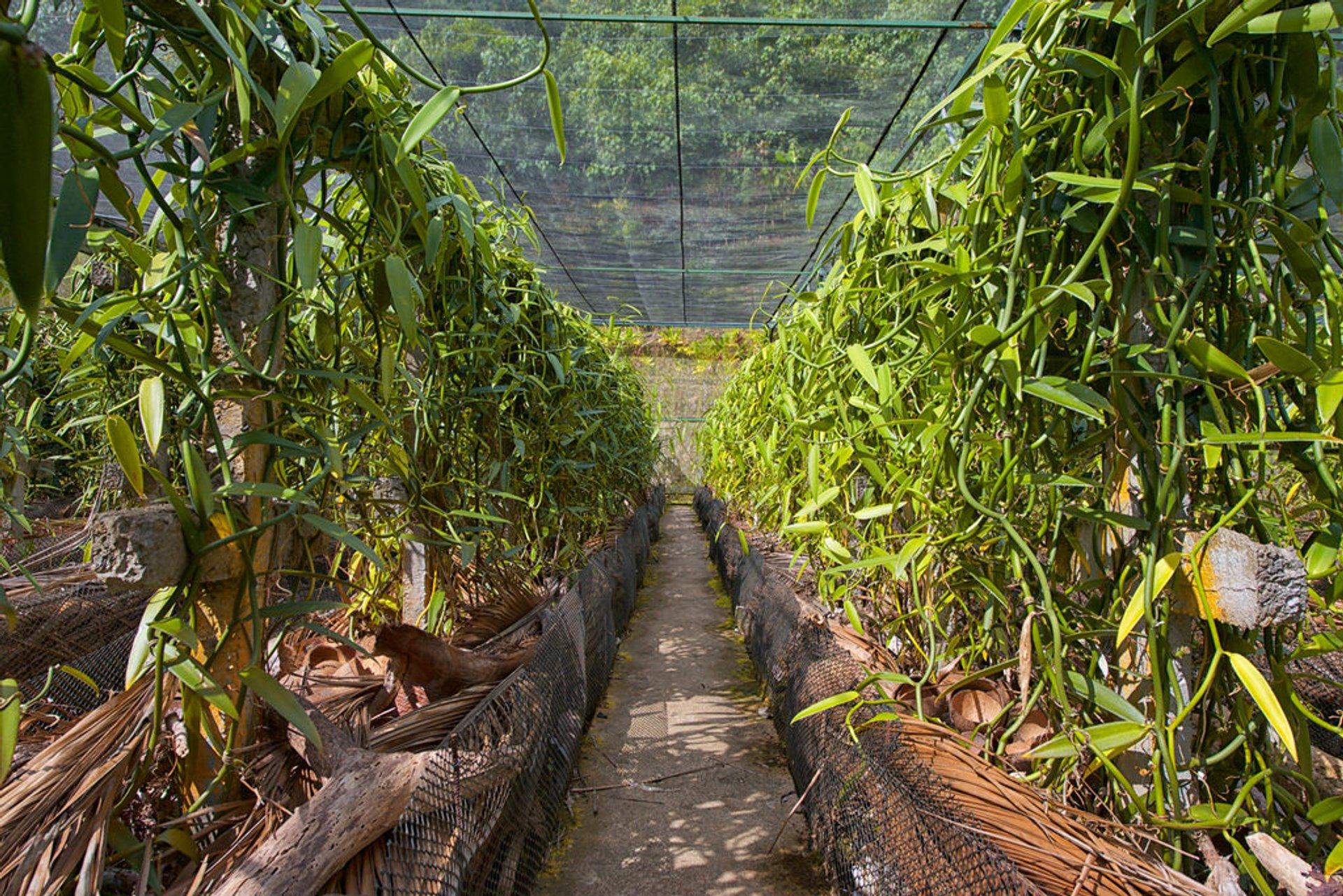 Vanilla plantation, Tahiti 2020
