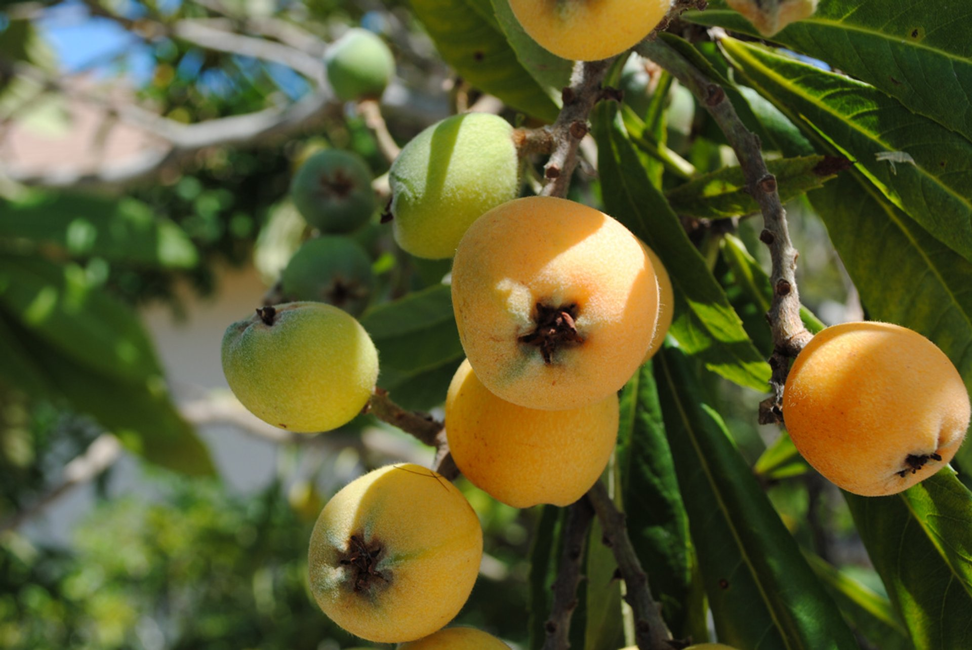 Loquat in Taiwan 2019 - Best Time
