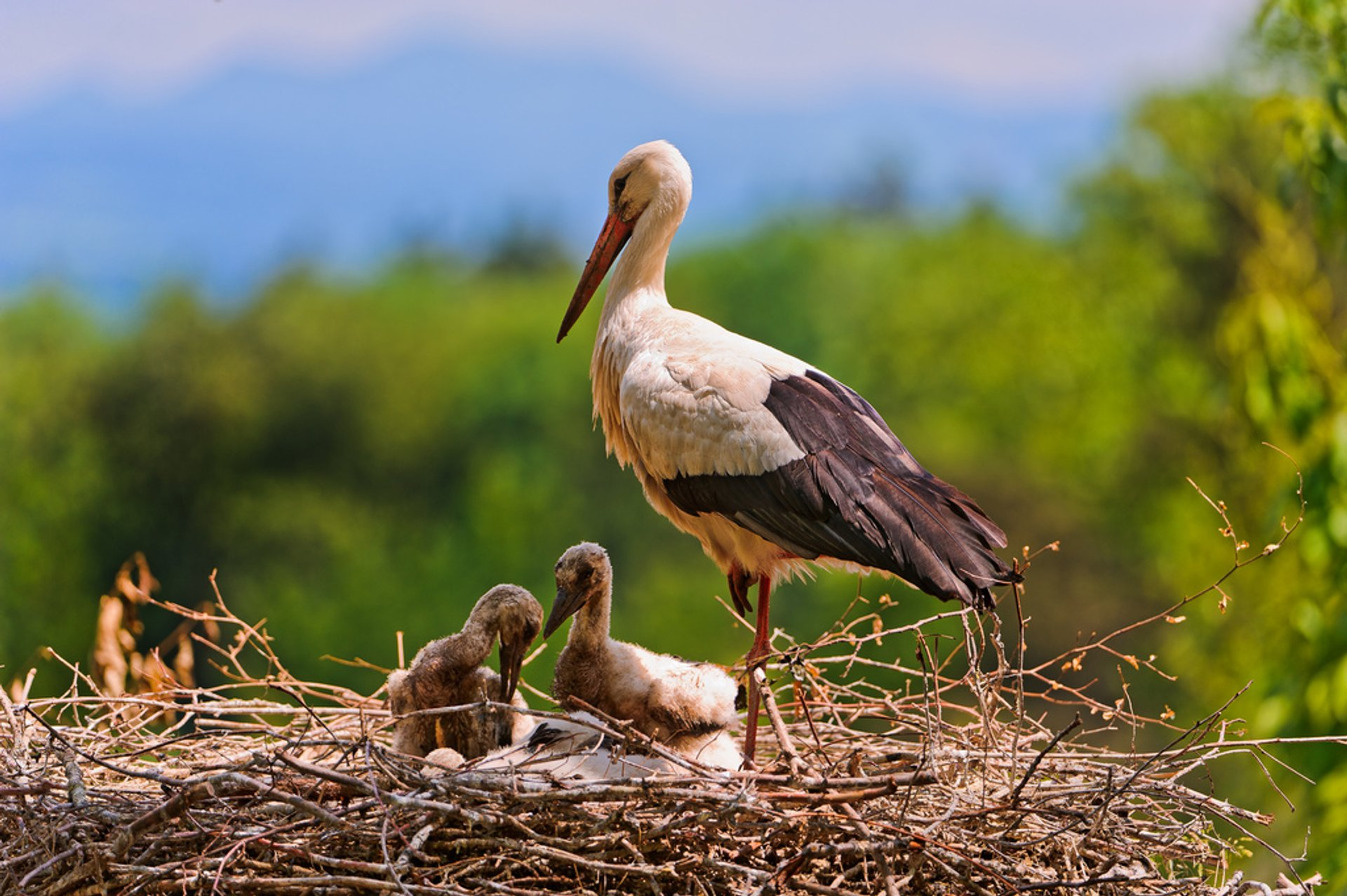 Stork with its chicks, Zoo Zürich, Switzerland 2020