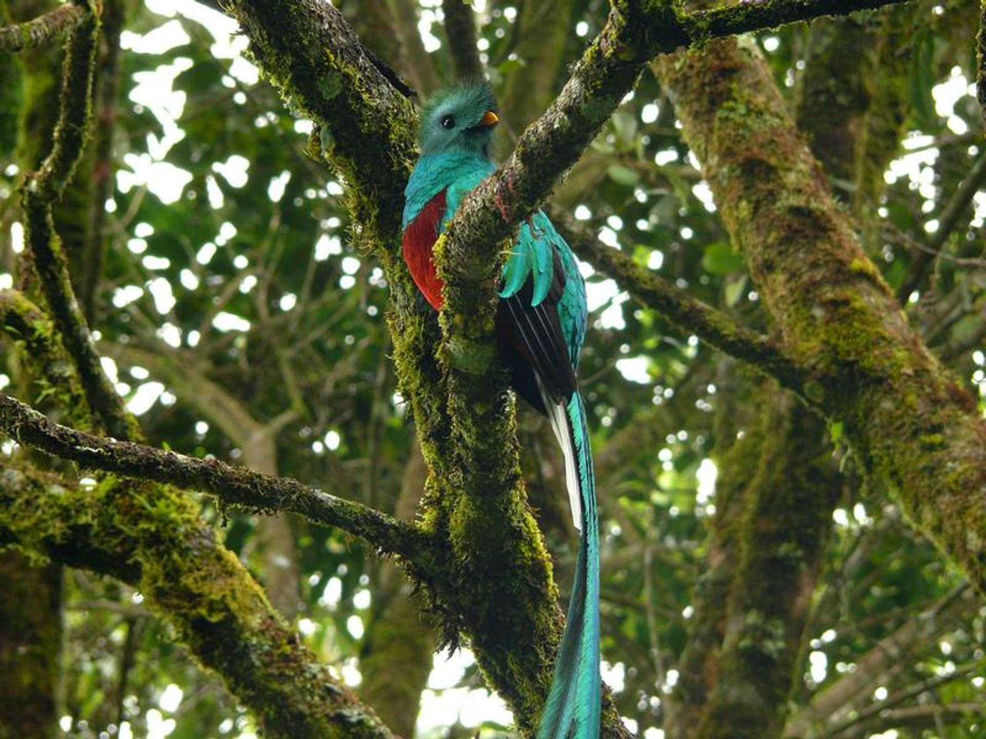 Resplendent Quetzal, national bird of Guatemala 2019