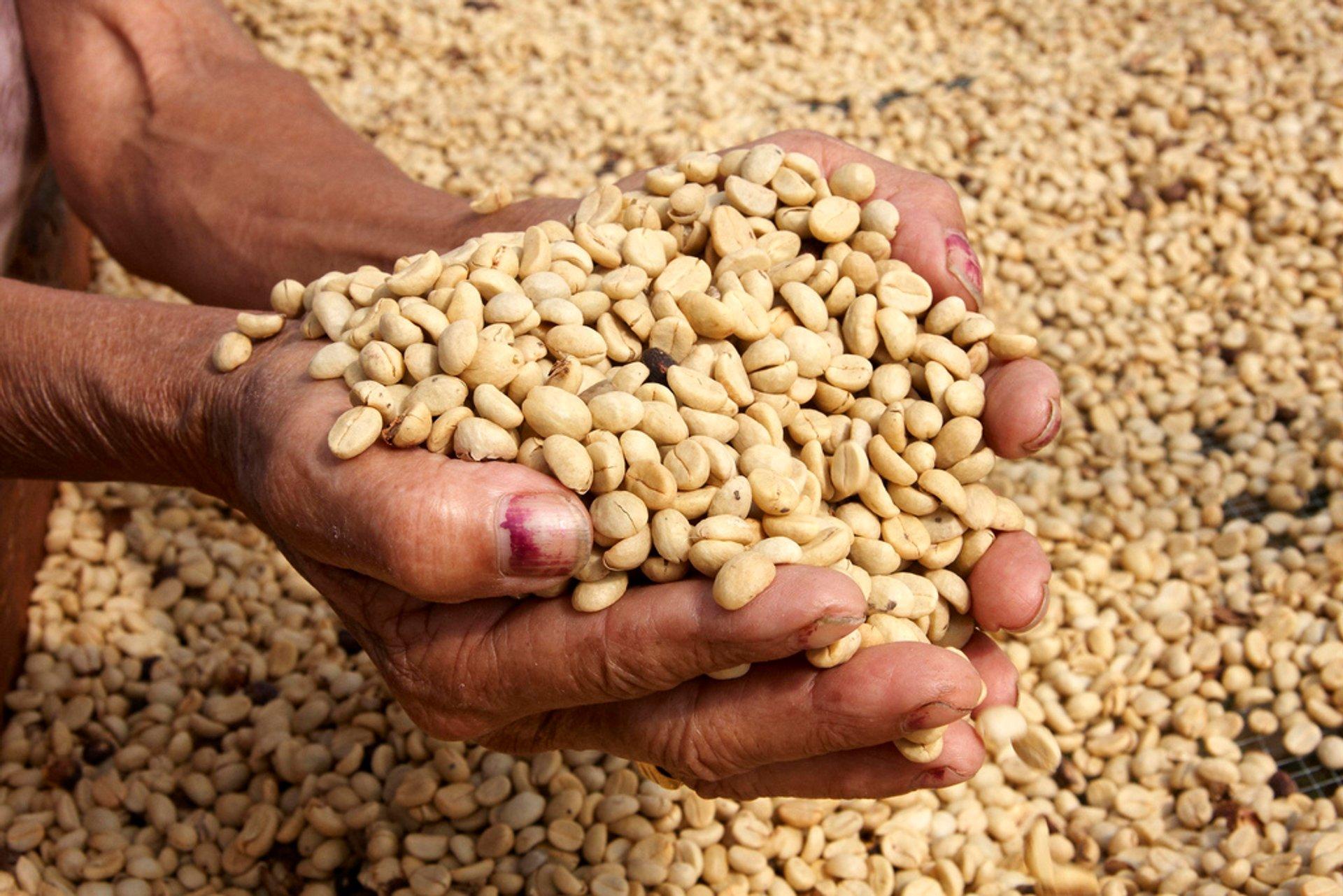 Best time to see Coffee Harvest in Honduras