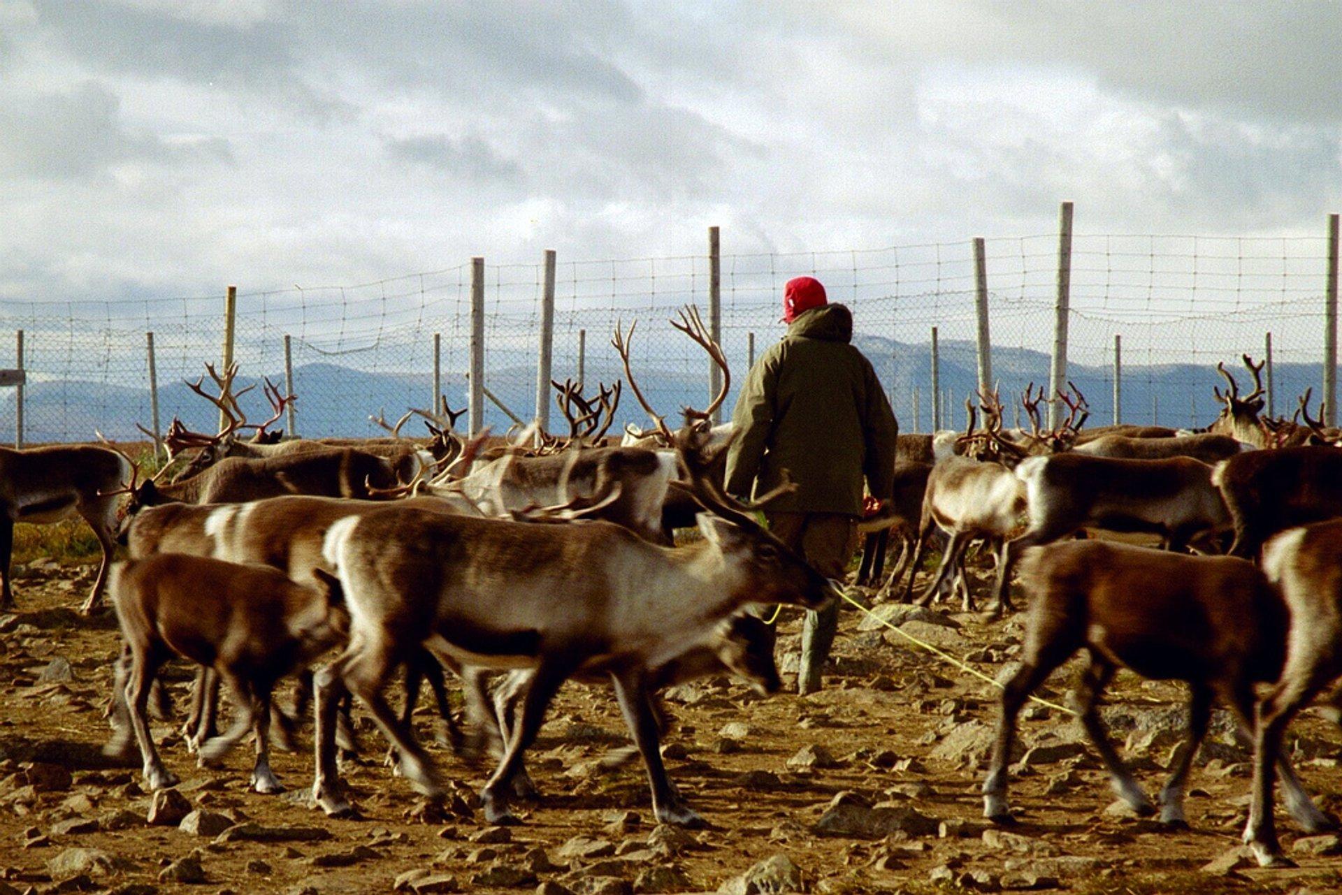 Marking the Reindeer in Sweden - Best Time