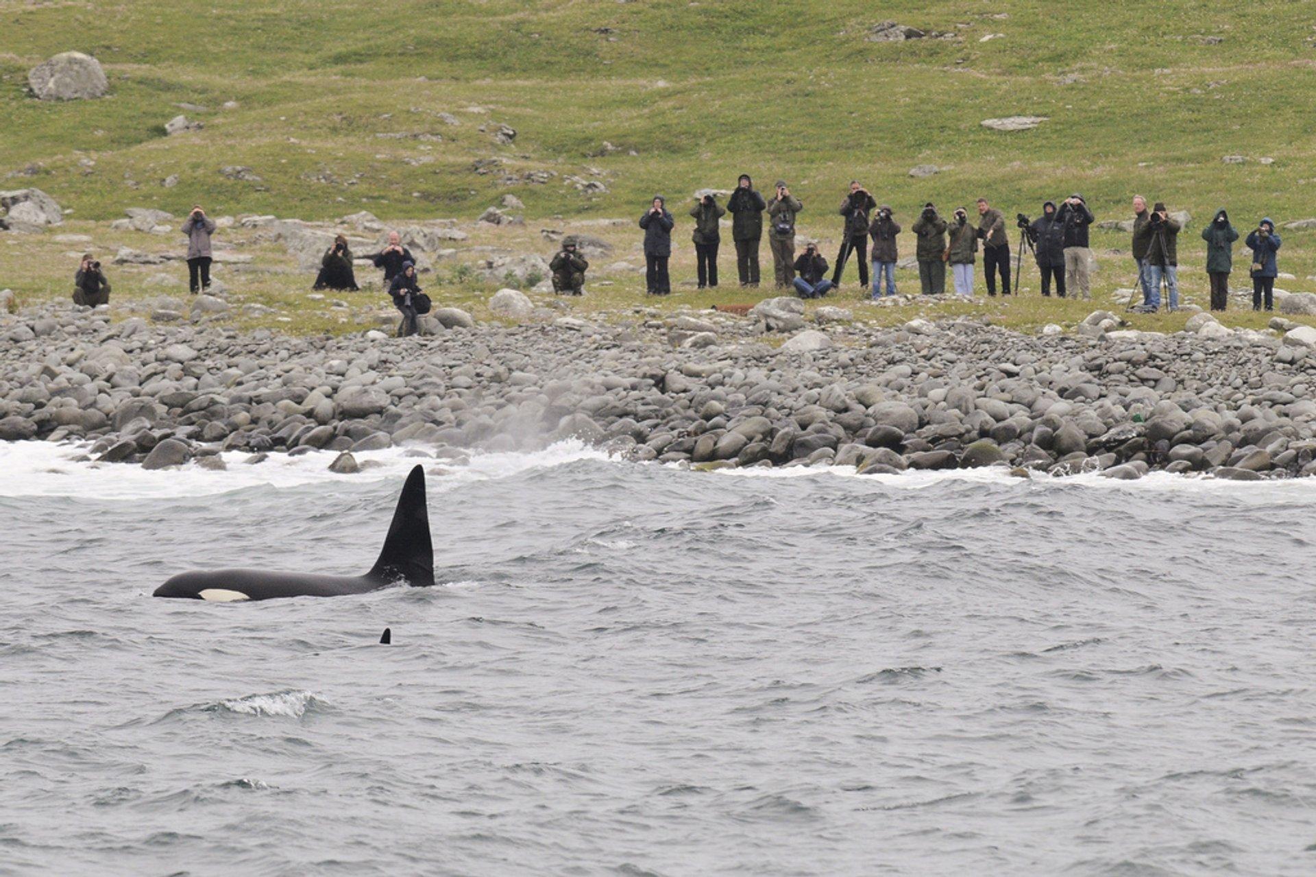 Orca near Shetland coastline 2020