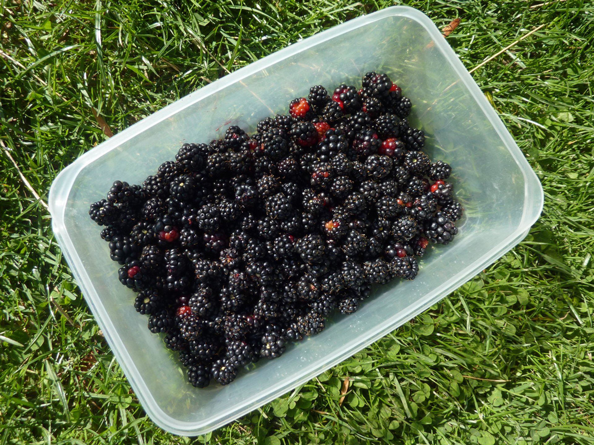 Box of blackberries 2019