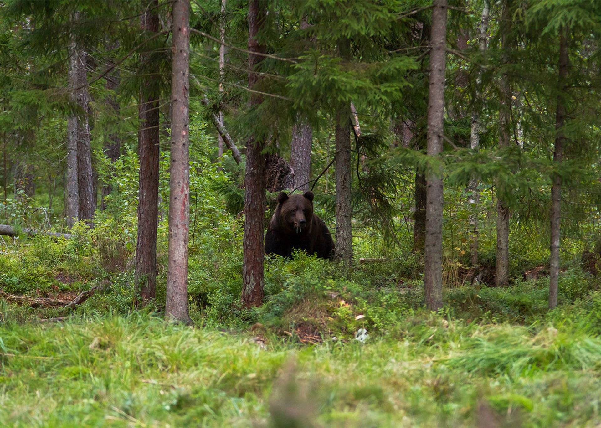 Best time for Brown Bear Watching in Estonia 2020