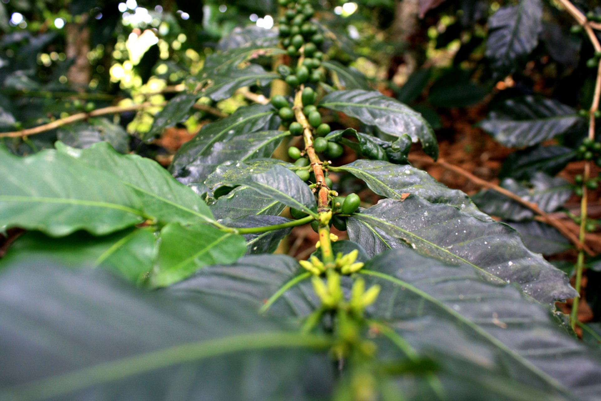 Best time to see Coffee Harvest in Colombia 2020