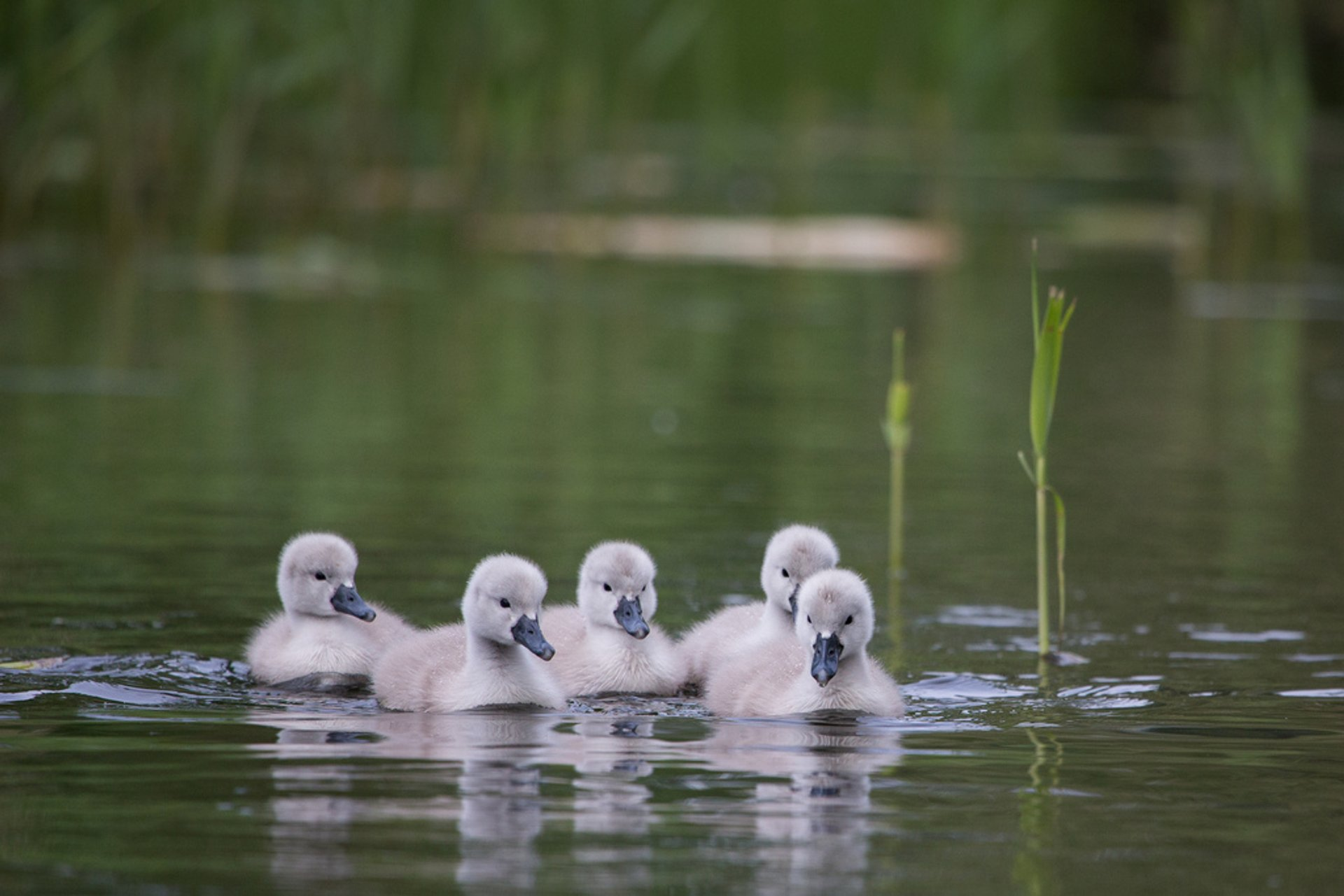 Baby Swans in Copenhagen 2020 - Best Time