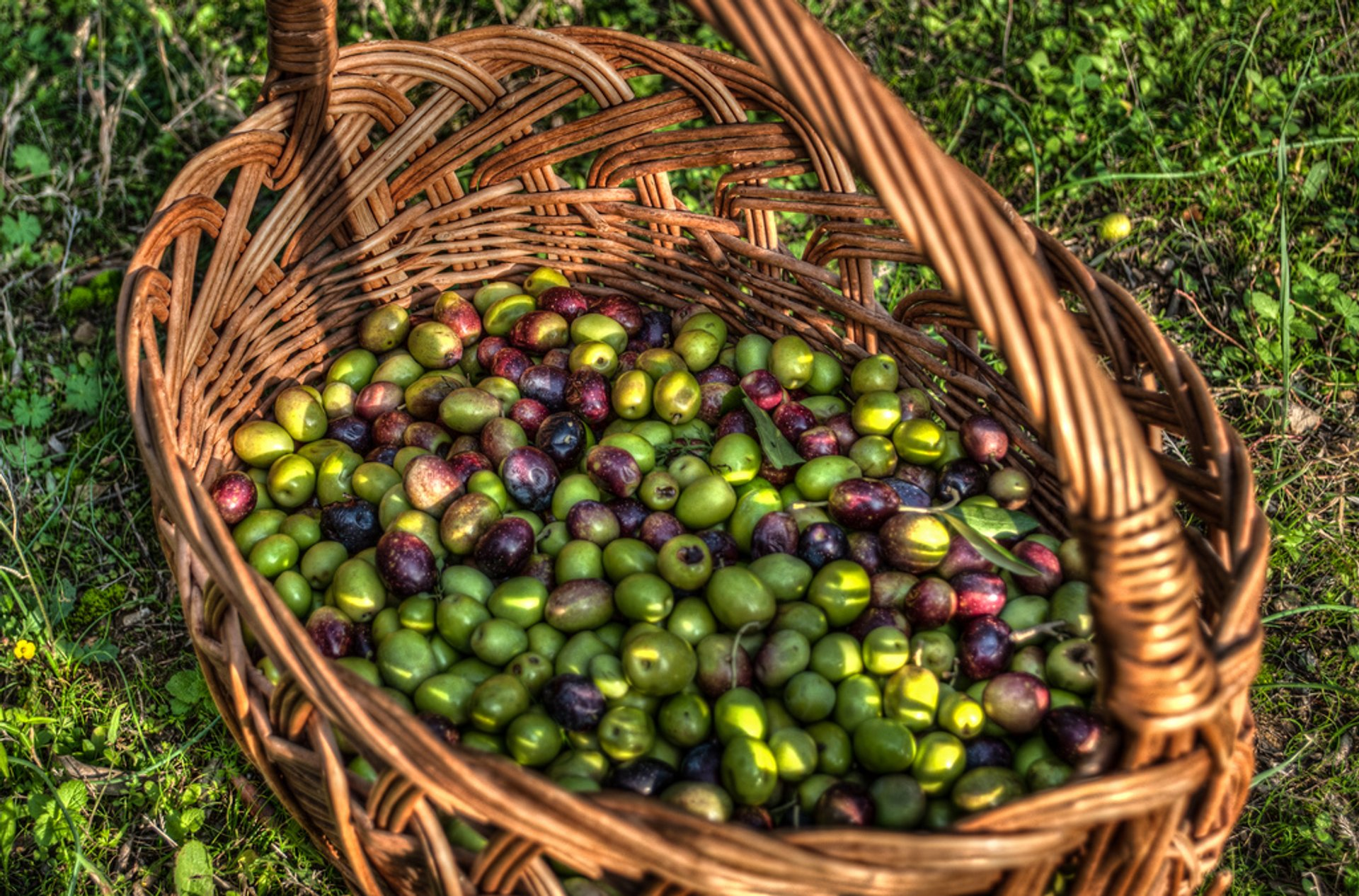 Olive Harvest in Slovenia 2019 - Best Time