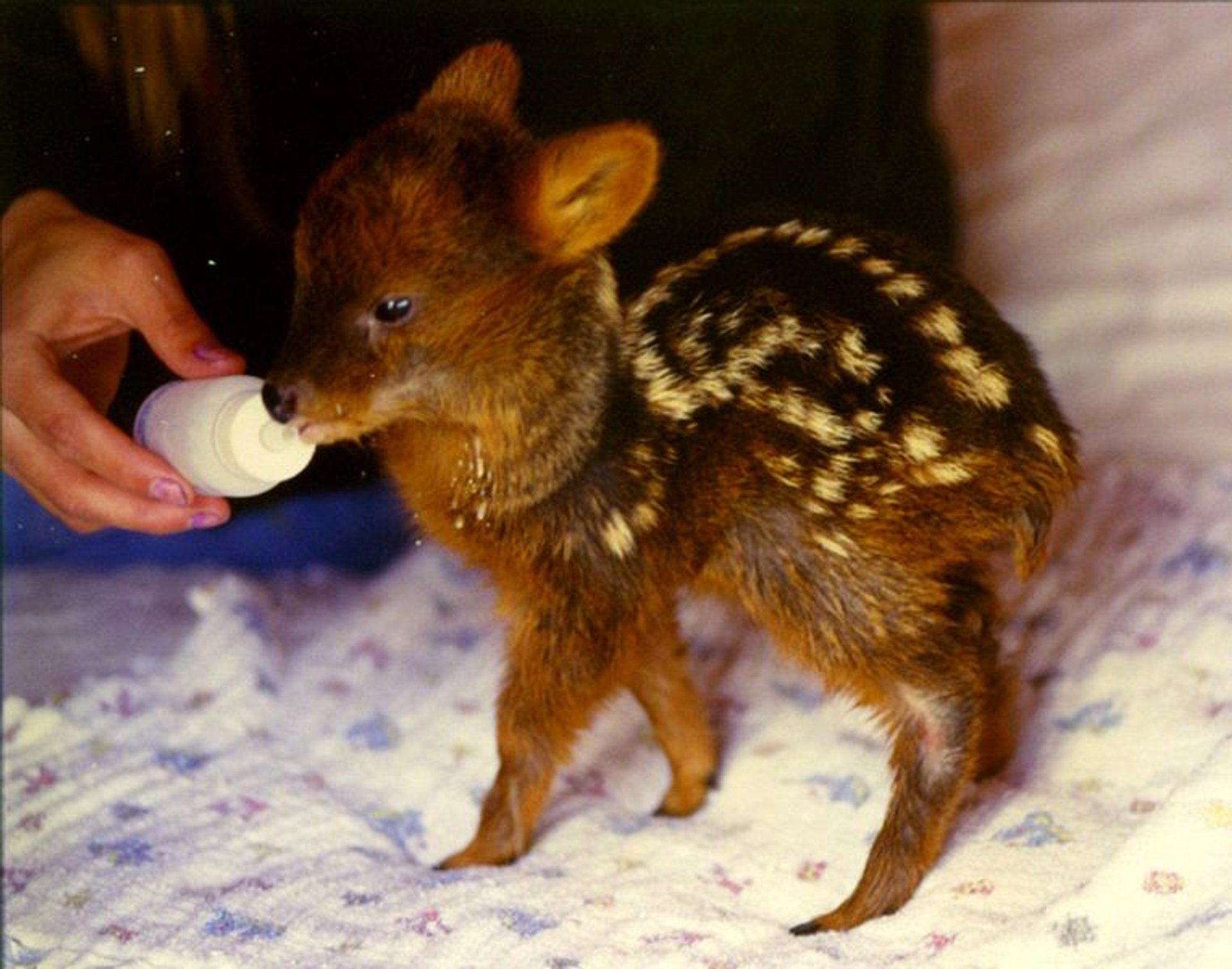 Best time for Pudu Deer in Chile 2019