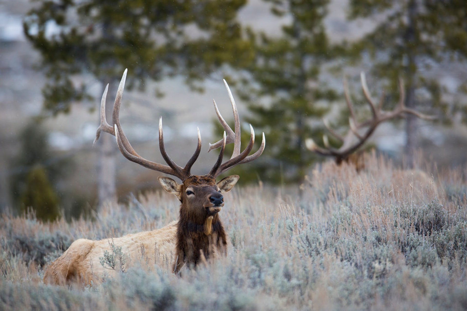 Elks in Yellowstone National Park 2019 - Best Time