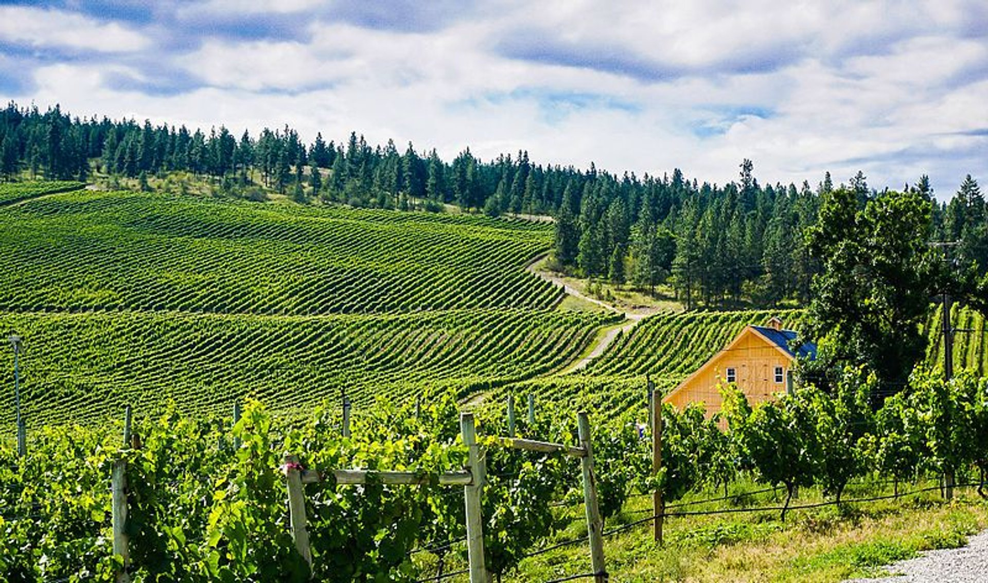 Okanagan Grape Harvest in British Columbia - Best Season 2020
