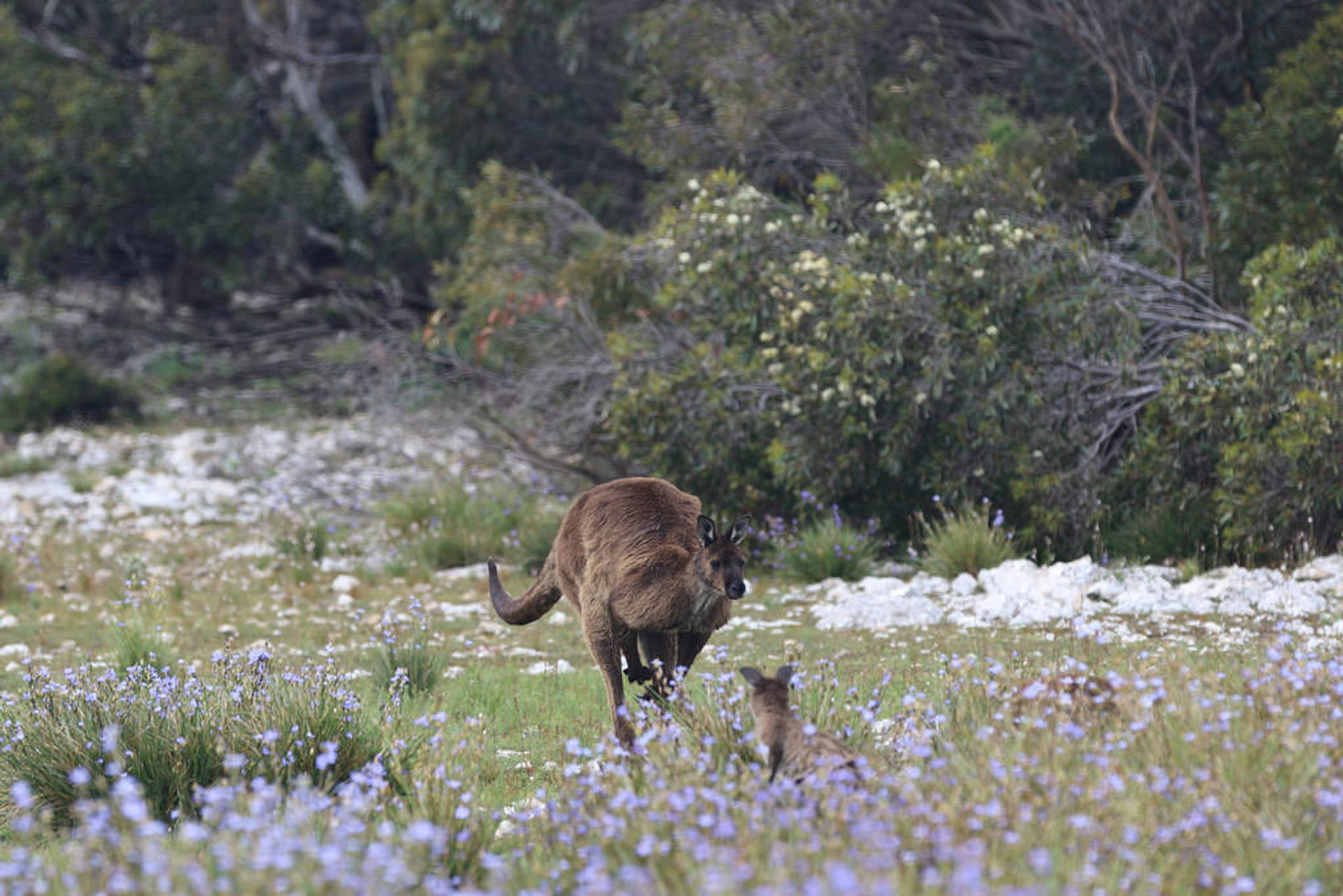 Best time for Baby Kangaroos (Joeys) in South Australia 2020