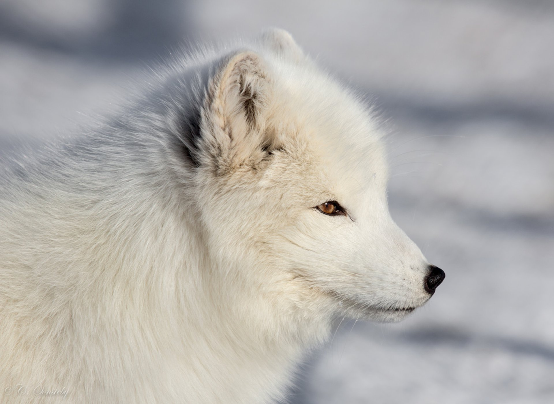 Best time for Arctic Fox in Norway