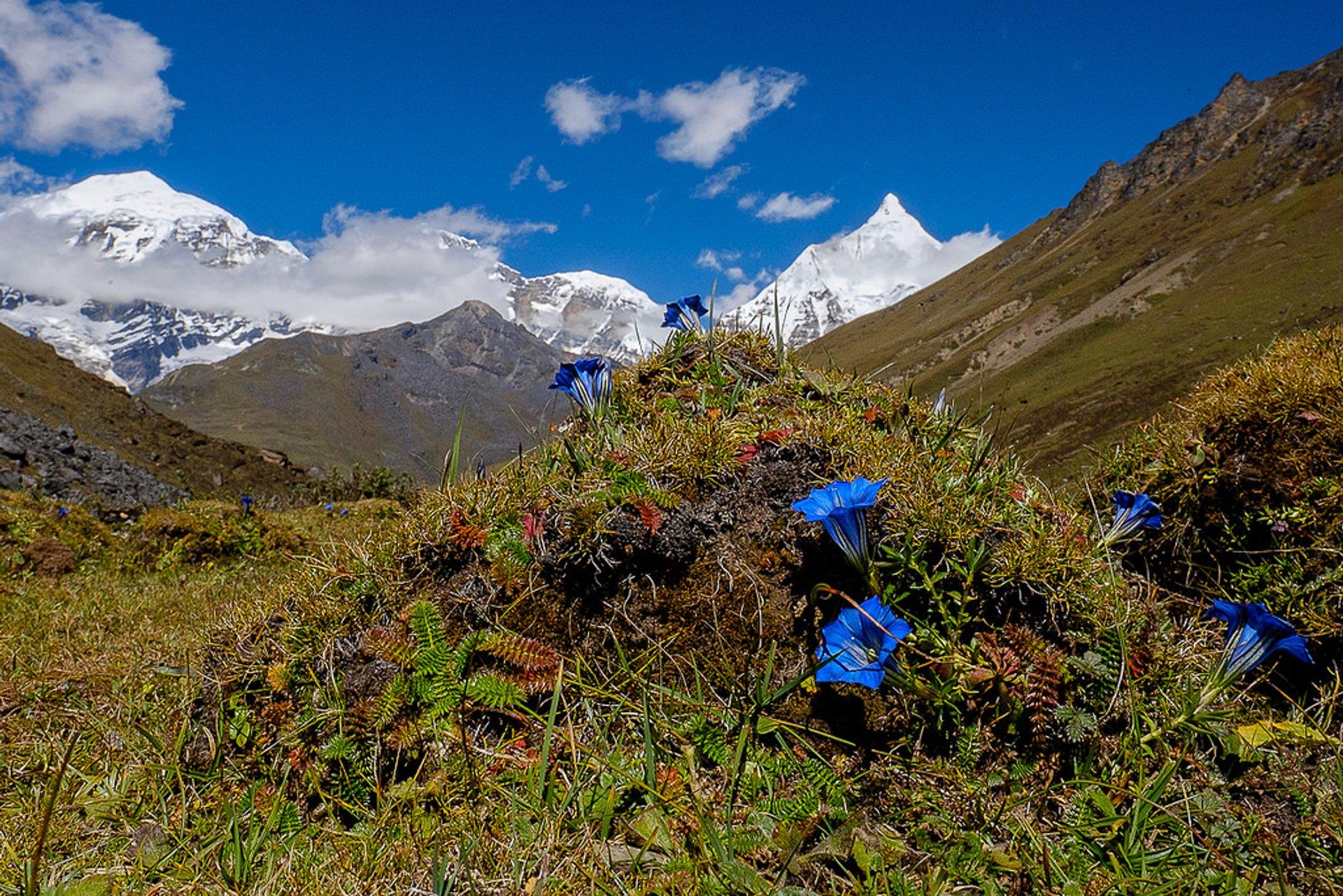 Edelweiss and Gentian Blooming Season in Bhutan 2019 - Best Time