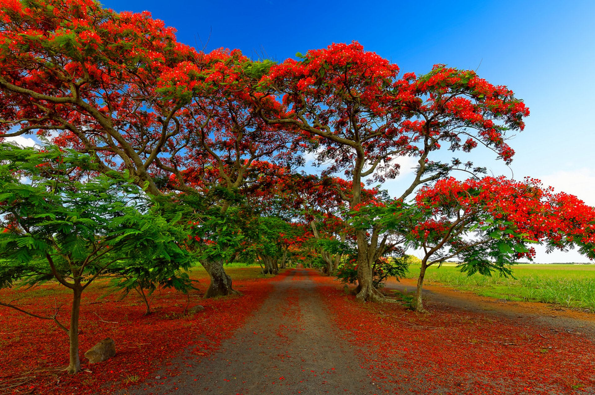 An alley lined by red flamboyant trees, Mon Choisy, Mauritius 2020