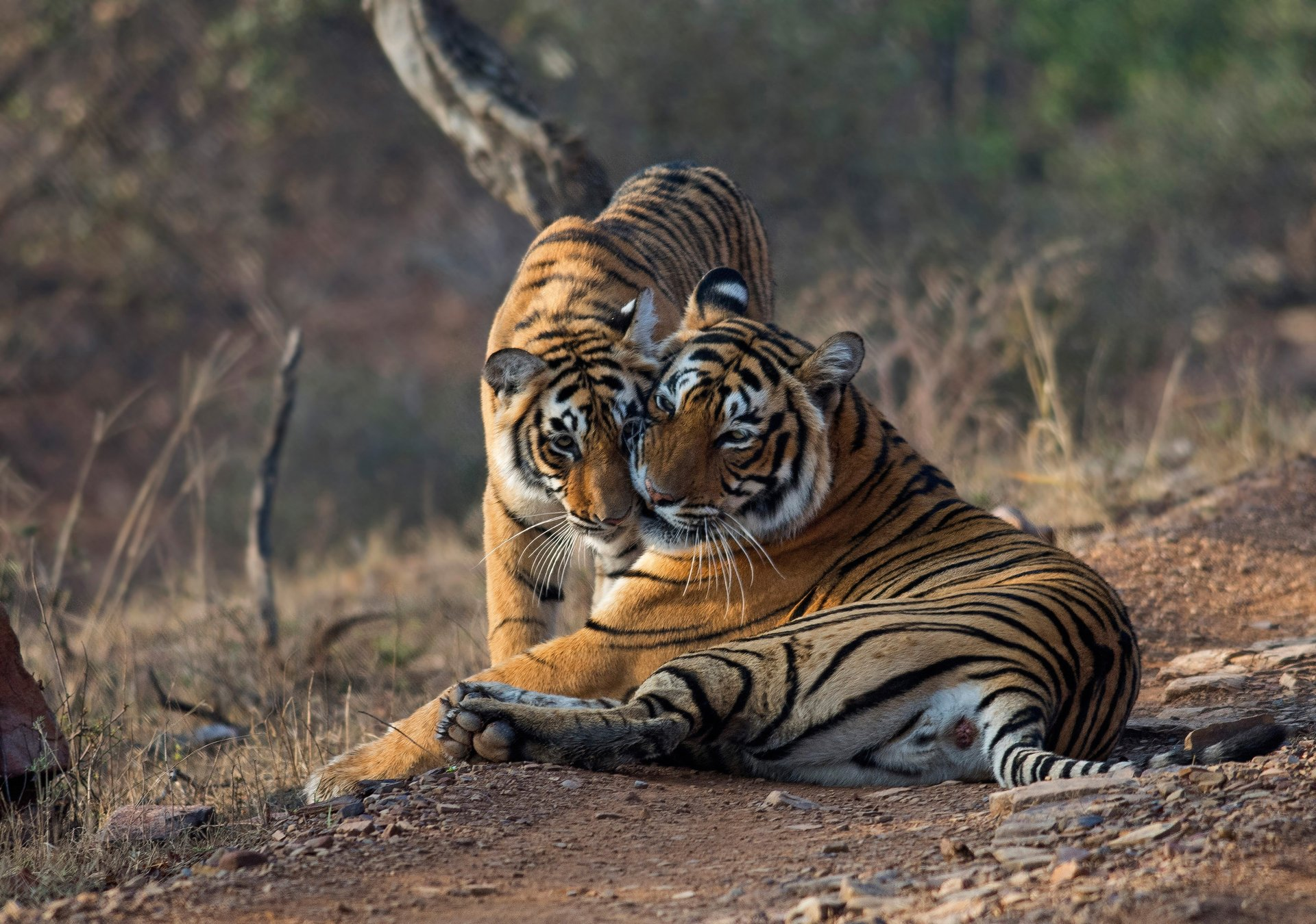 Tiger Safari in Ranthambore National Park in Taj Mahal and Agra  - Best Time