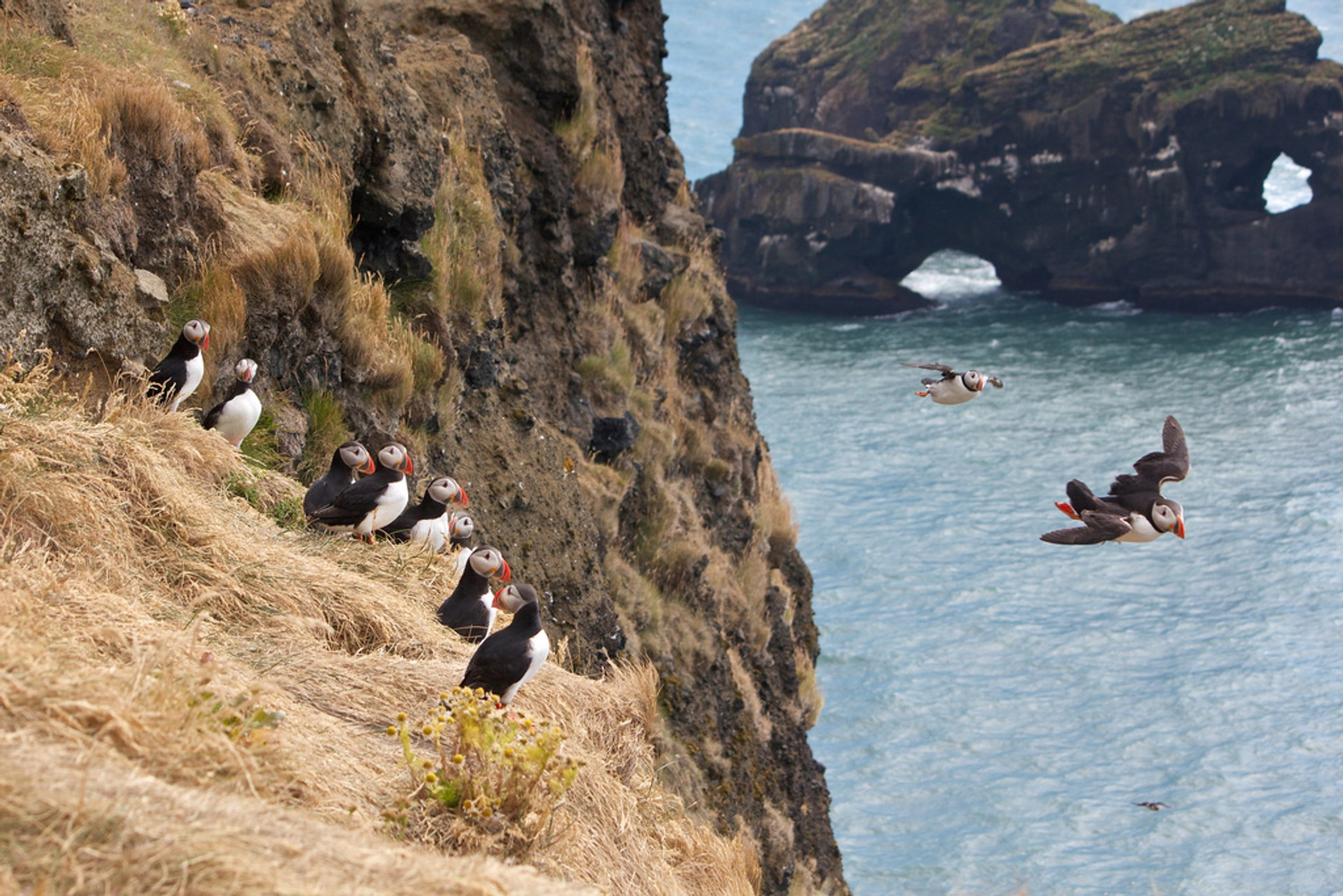 Best time for Atlantic Puffins in Iceland