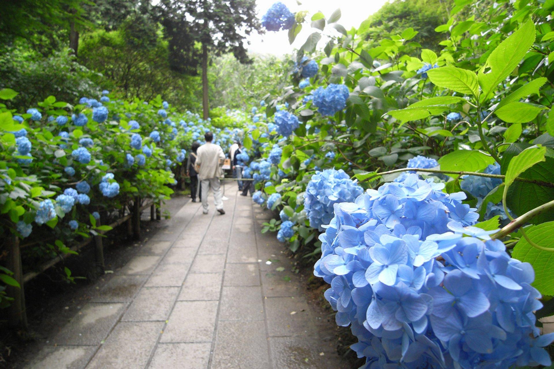 Hydrangea Temple Gardens (Meigetsu-in Temple) in Kamakura 2020
