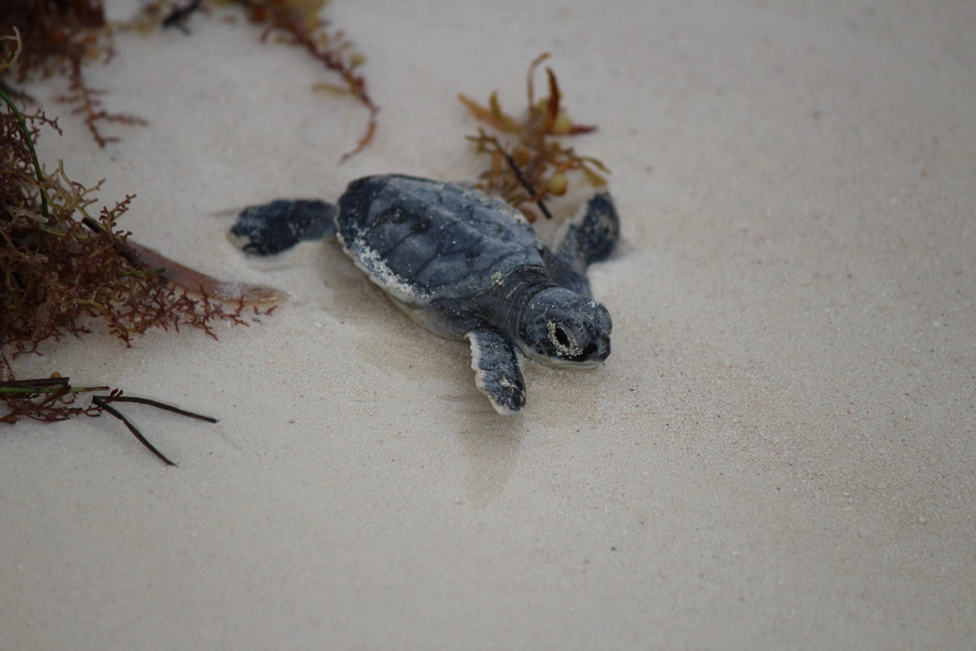 Turtle Nesting and Hatching in Cancun 2020 - Best Time