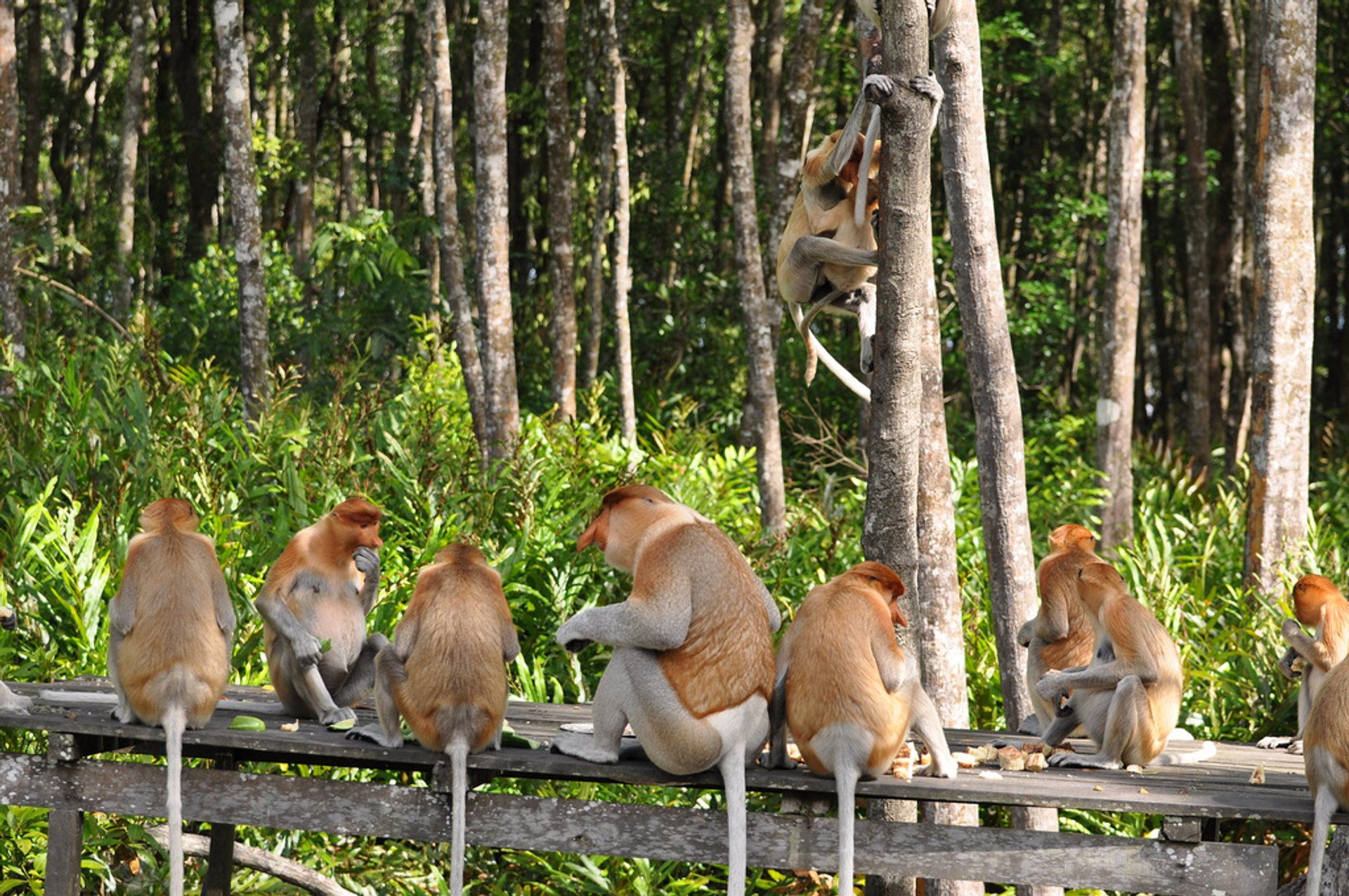 Proboscis Monkeys in Borneo - Best Season 2019