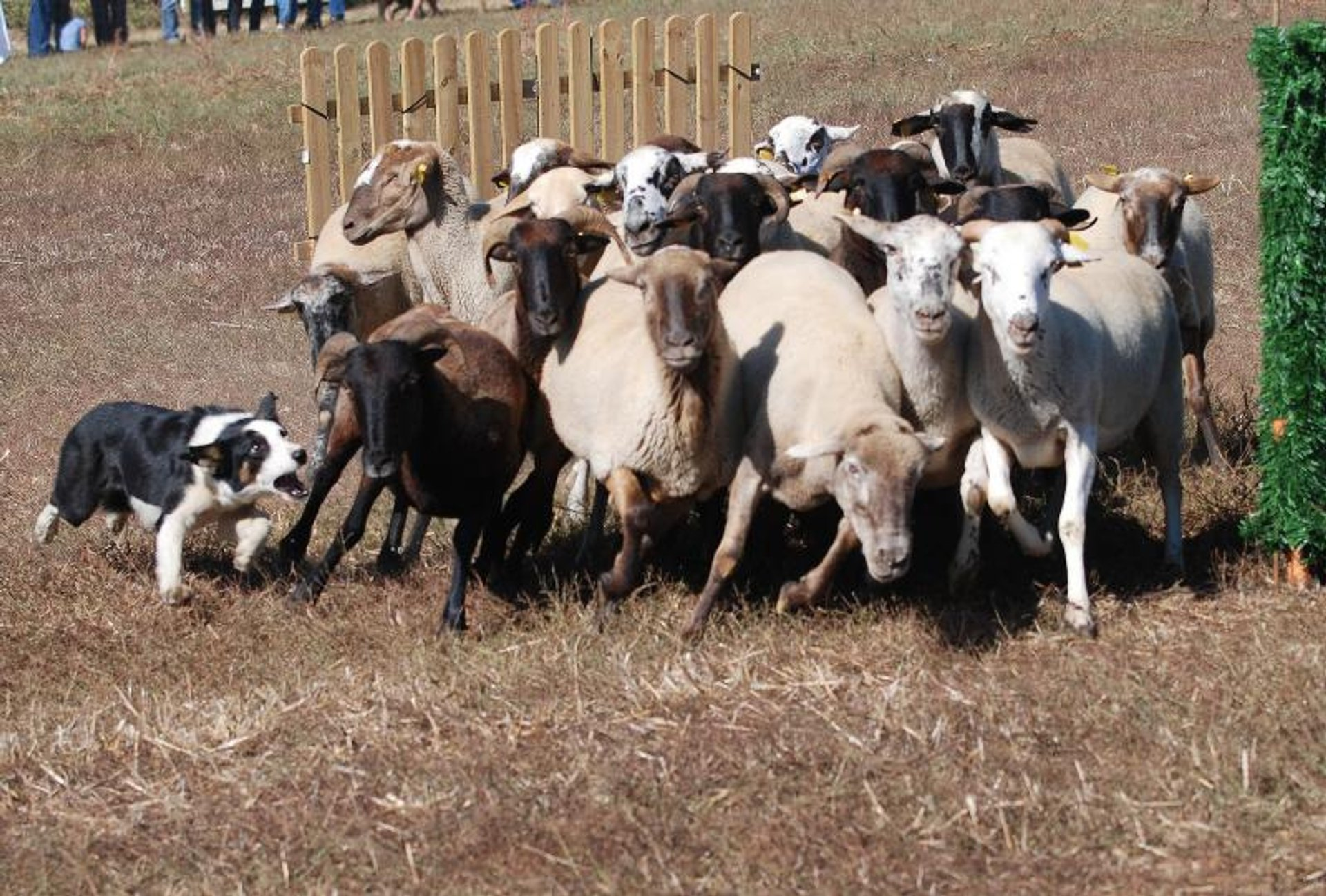 """""""Gossos d'Atura"""" (Sheep Dog) Competitions in Barcelona 2020 - Best Time"""