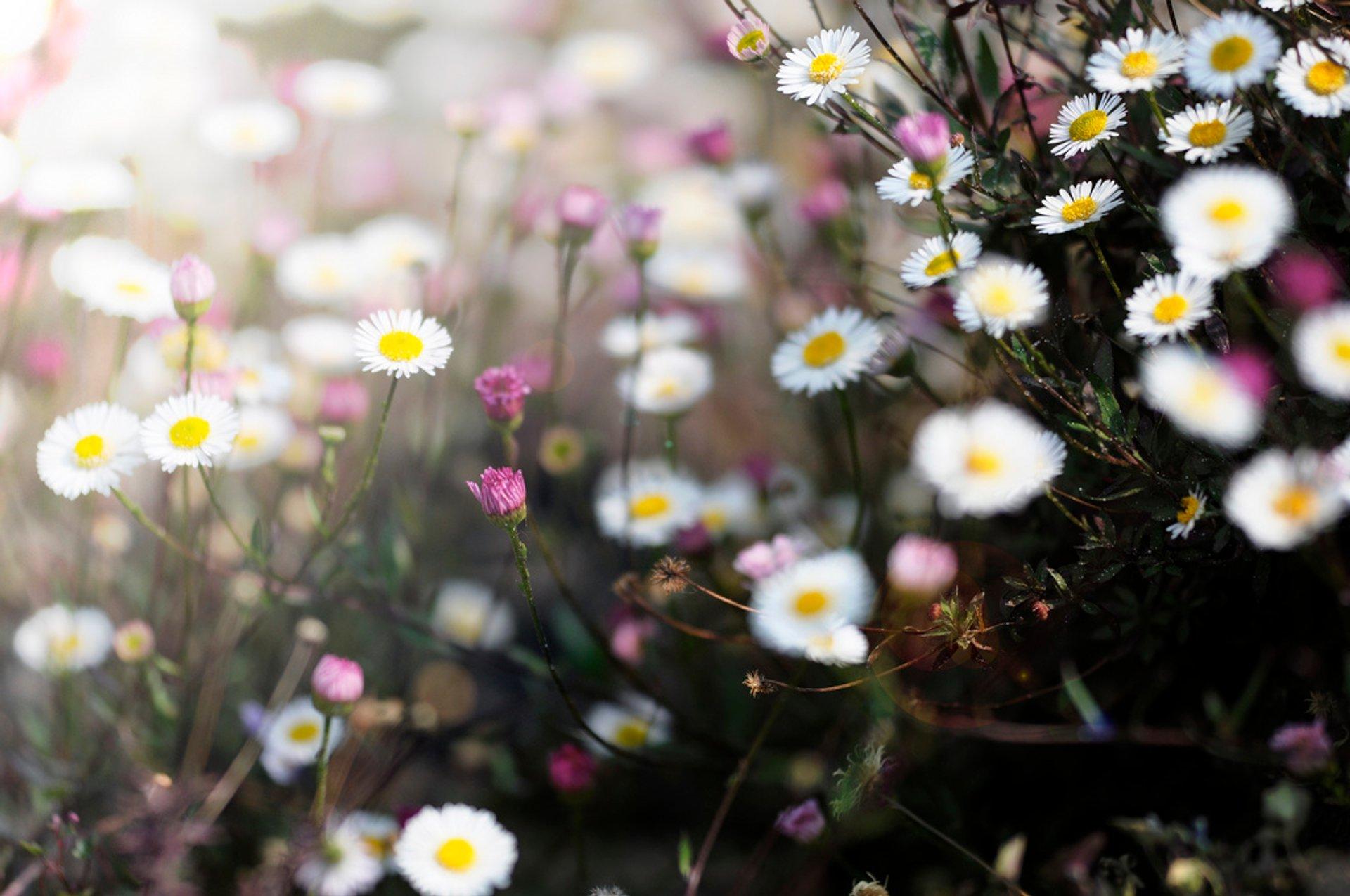 Ticino Flower Fields in Switzerland 2020 - Best Time