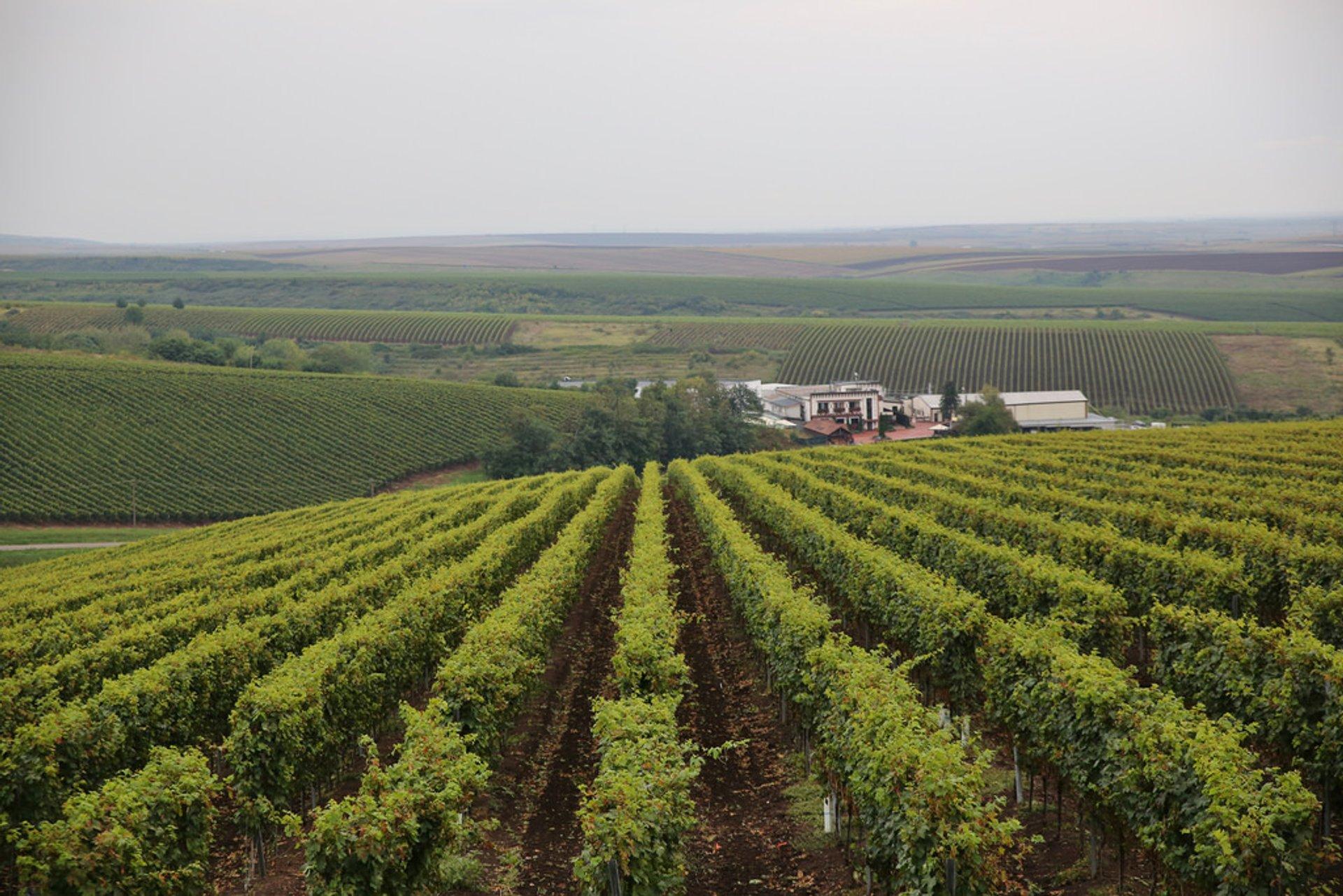 Wine Season in Romania - Best Season