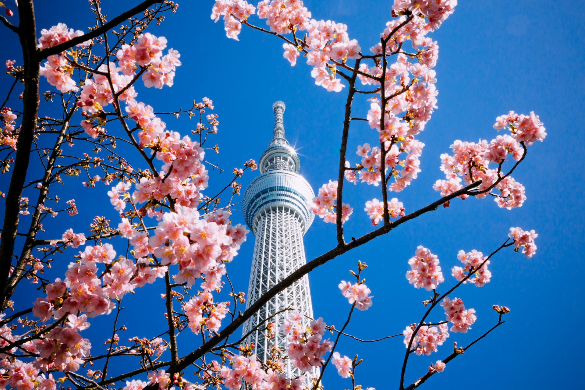 Cherry Blossom in Tokyo 2020 - Best Time