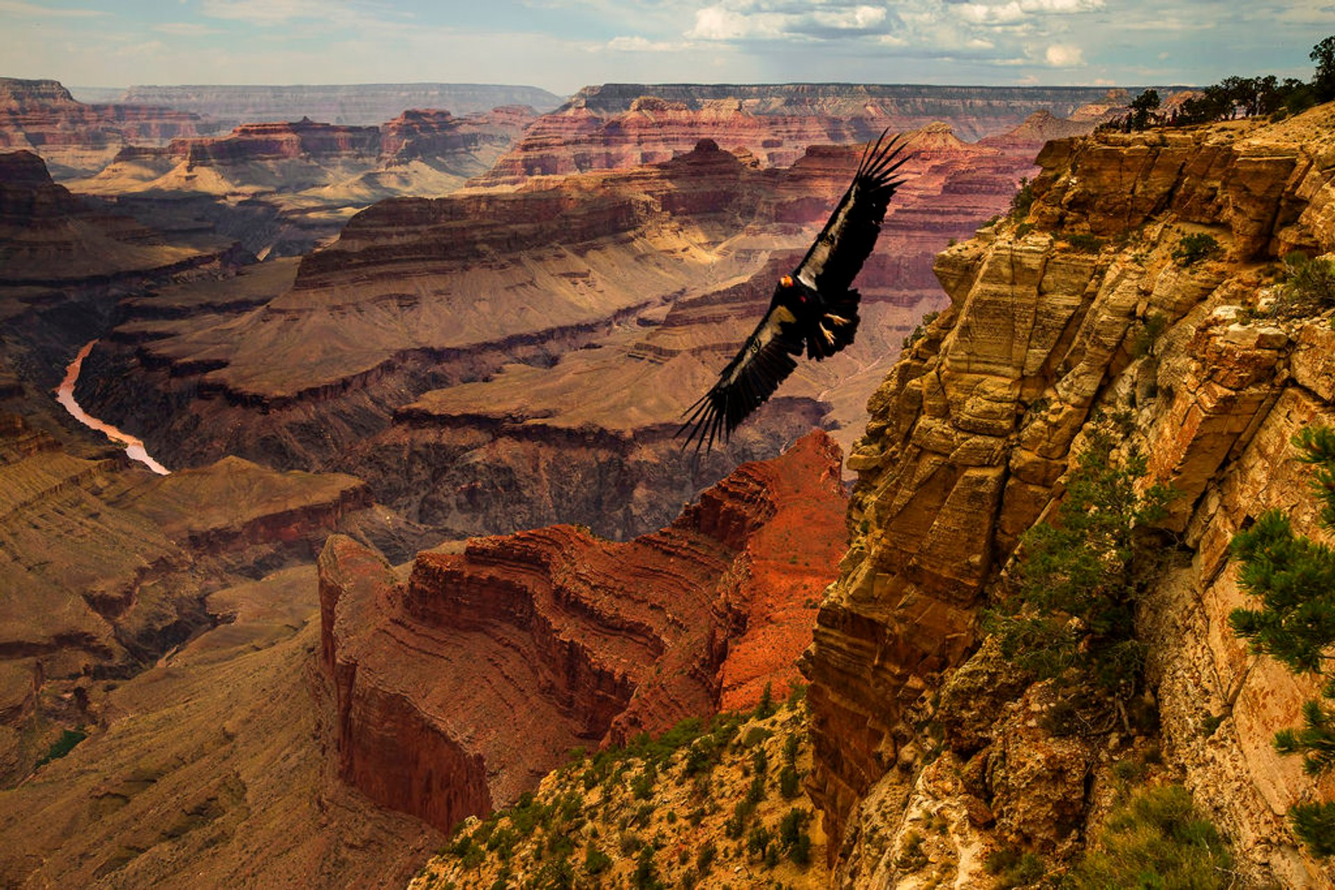 California Condor in Grand Canyon 2019 - Best Time