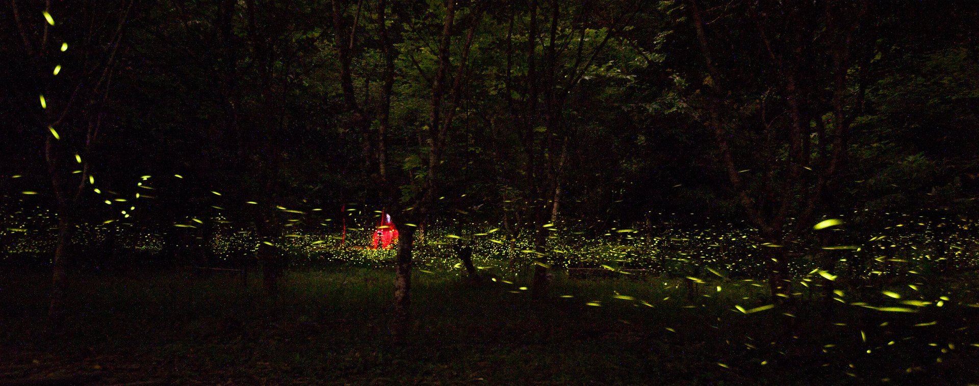 Fireflies at Wulai, Taiwan 2020