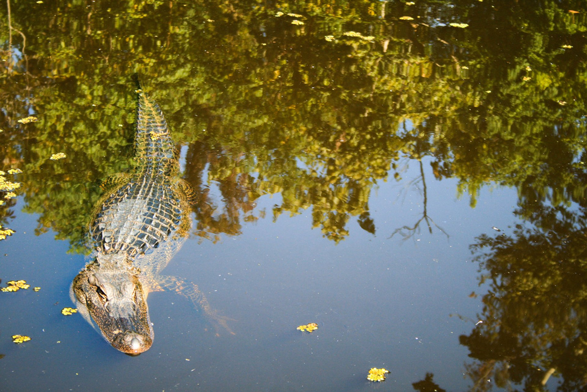 Wild Alligator in New Orleans - Best Season 2020
