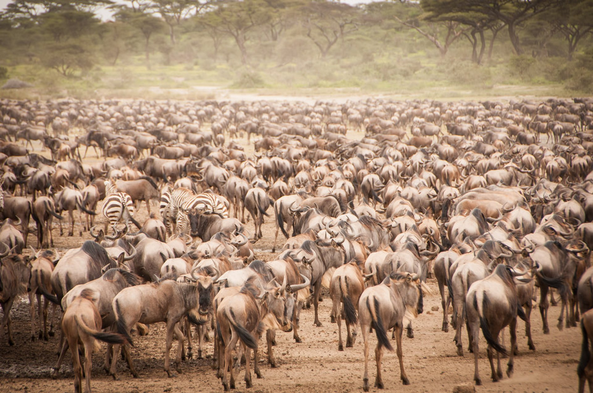 African Safari: The Great Migration, Serengeti National Park Tanzania 2019