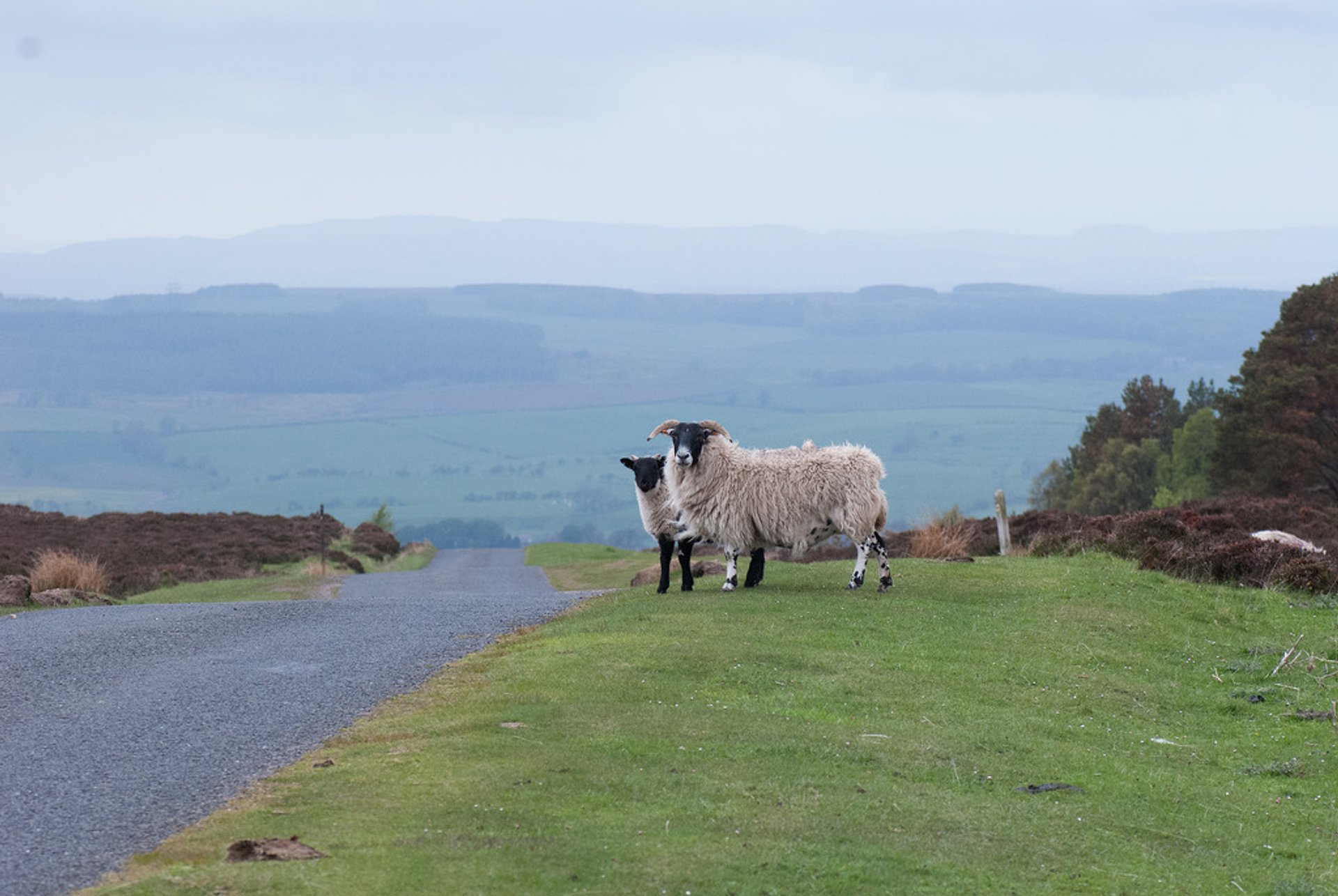 Sheep on the moors 2020