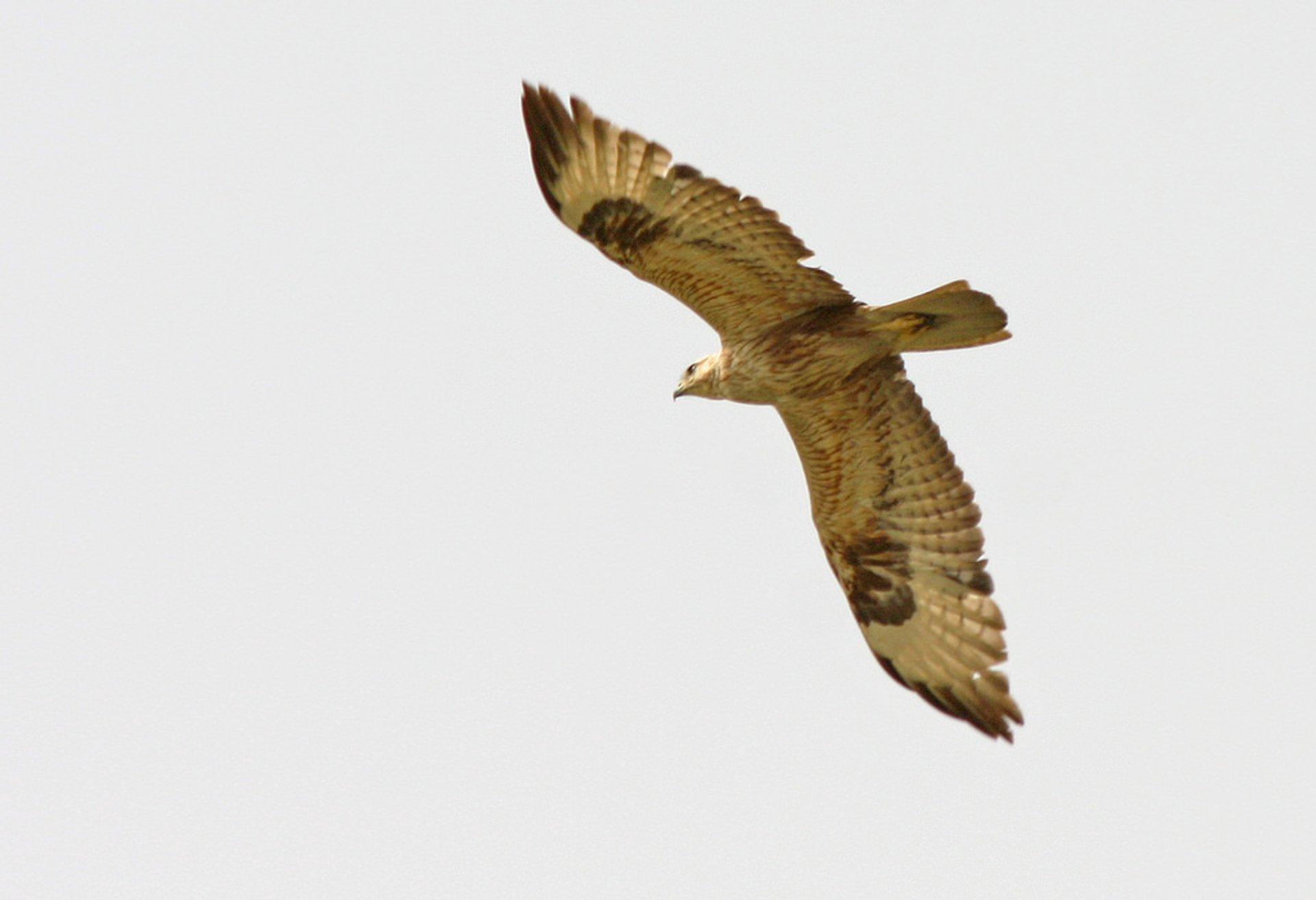 Long-legged buzzard 2020