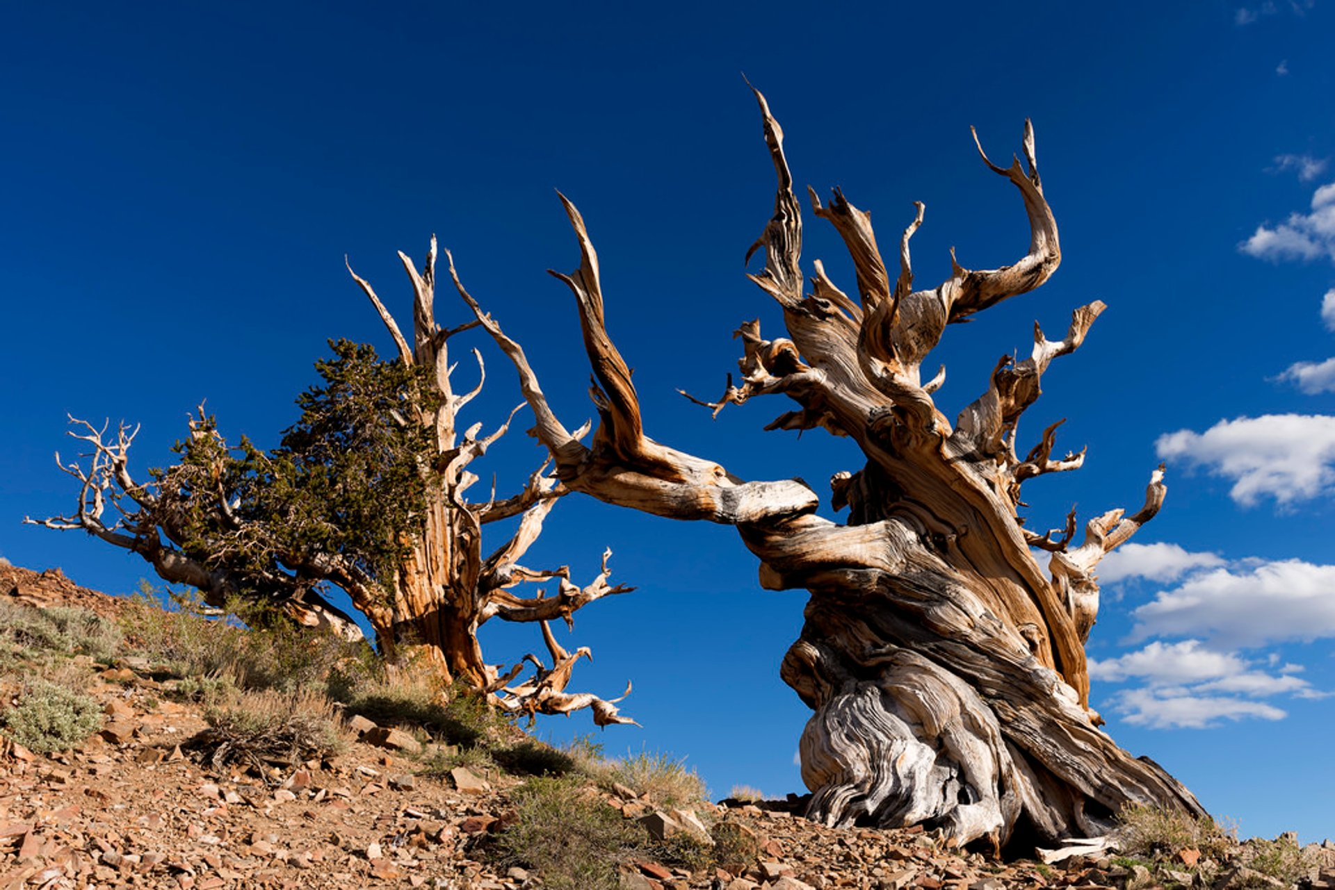 Best time to see Bristlecone Pines in California 2019