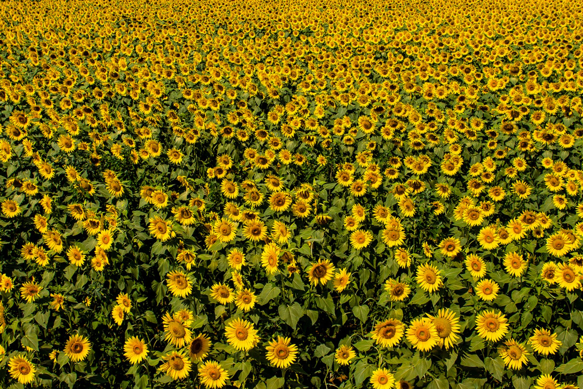 Sunflowers in Japan - Best Season 2020