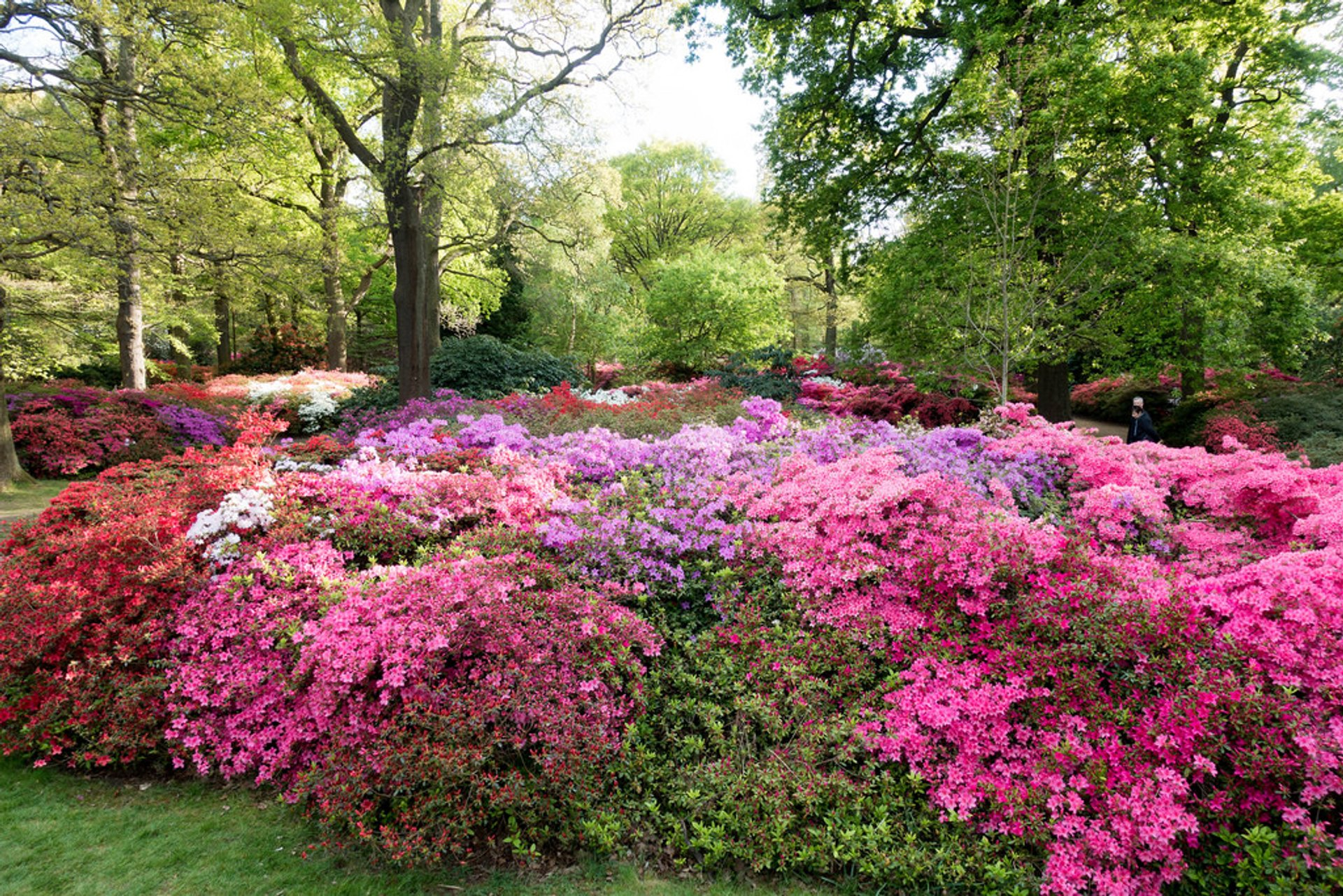 Rhododendrons in London 2020