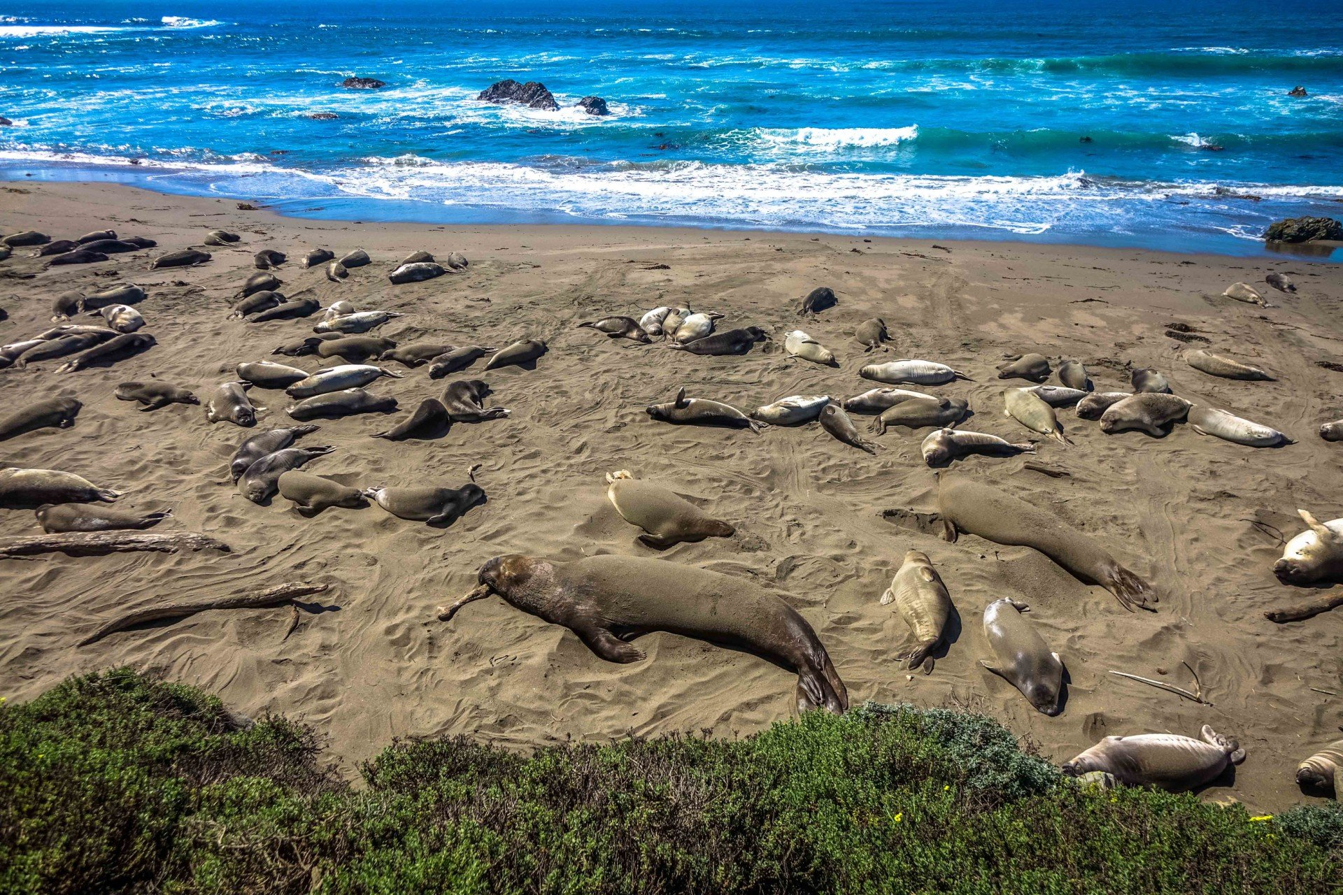 Elephant Seals in California 2020 - Best Time