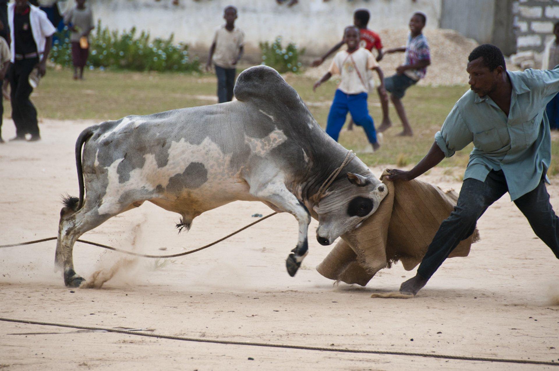 Bullfighting on Pemba Island in Zanzibar 2019 - Best Time