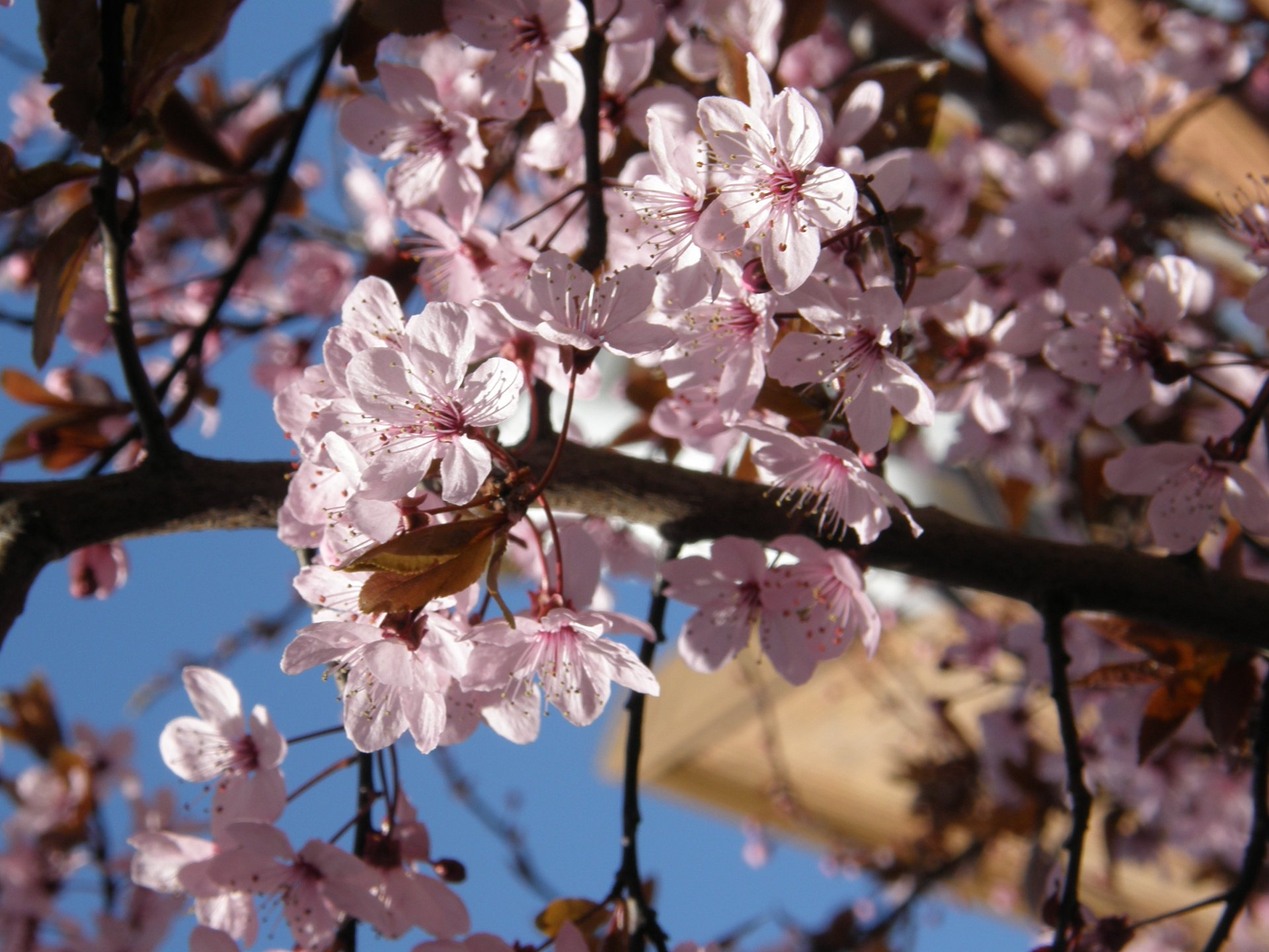 Cherry Blossom in Victoria in British Columbia 2020 - Best Time