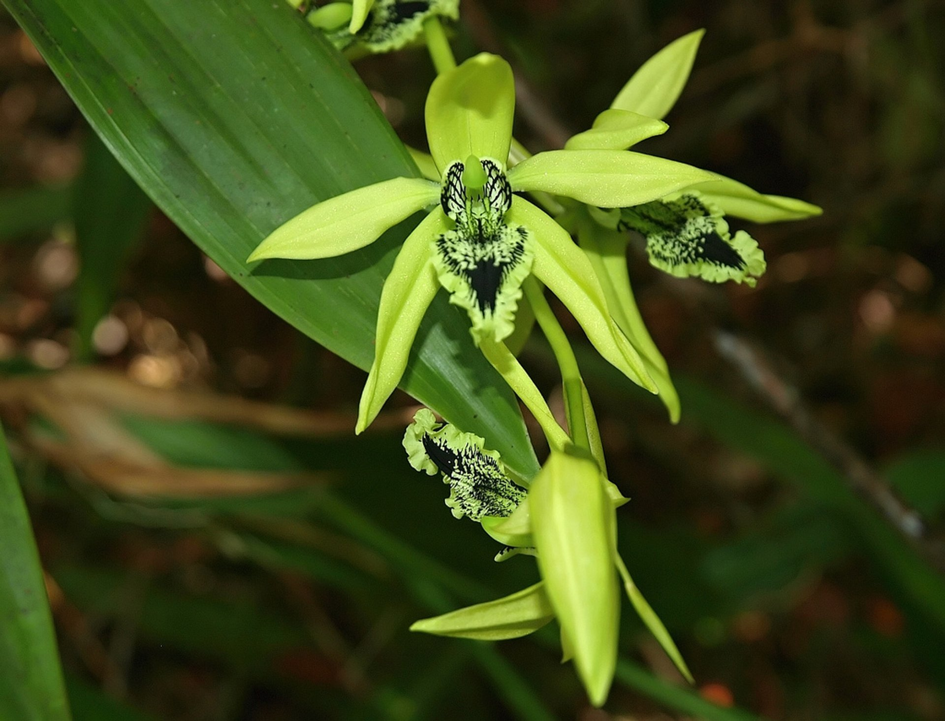 Black Orchids in Borneo - Best Season 2020