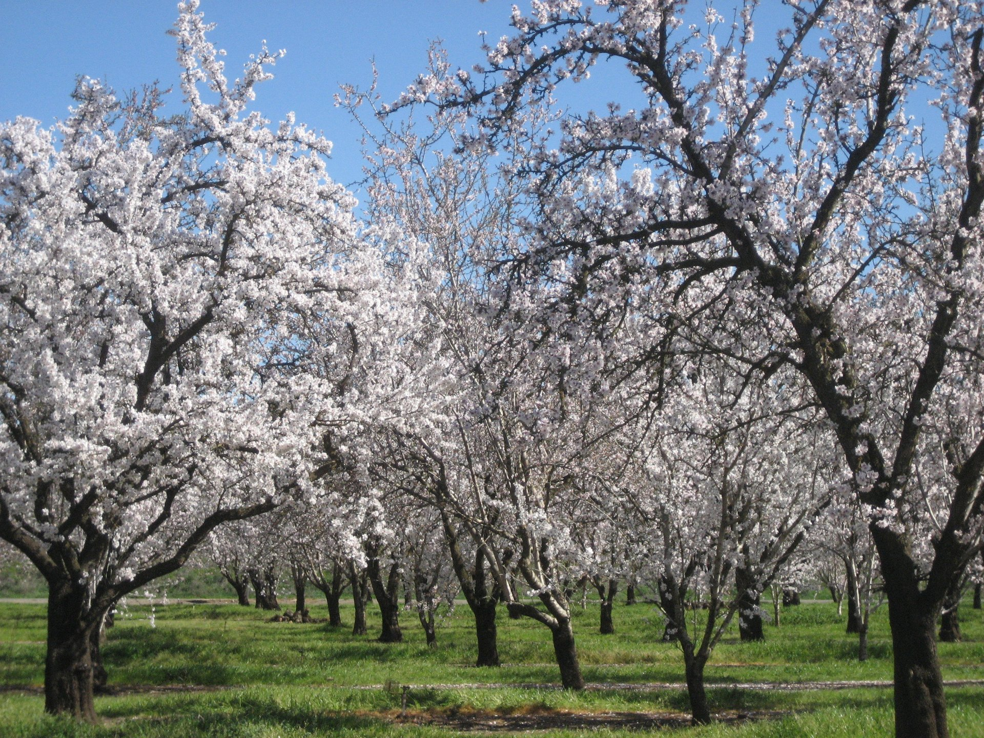 Almond Bloom in California 2020 - Best Time