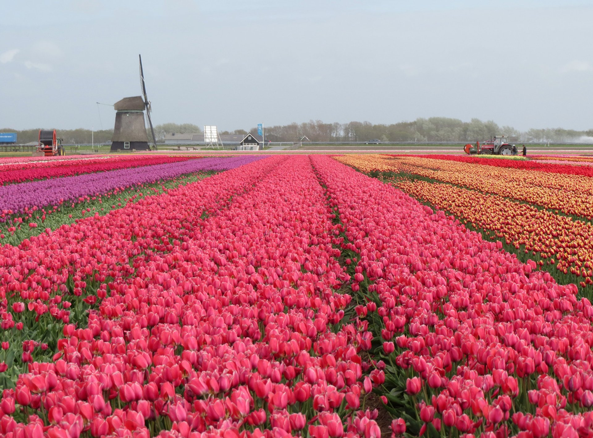 Dutch tulip fields blossoming 2020