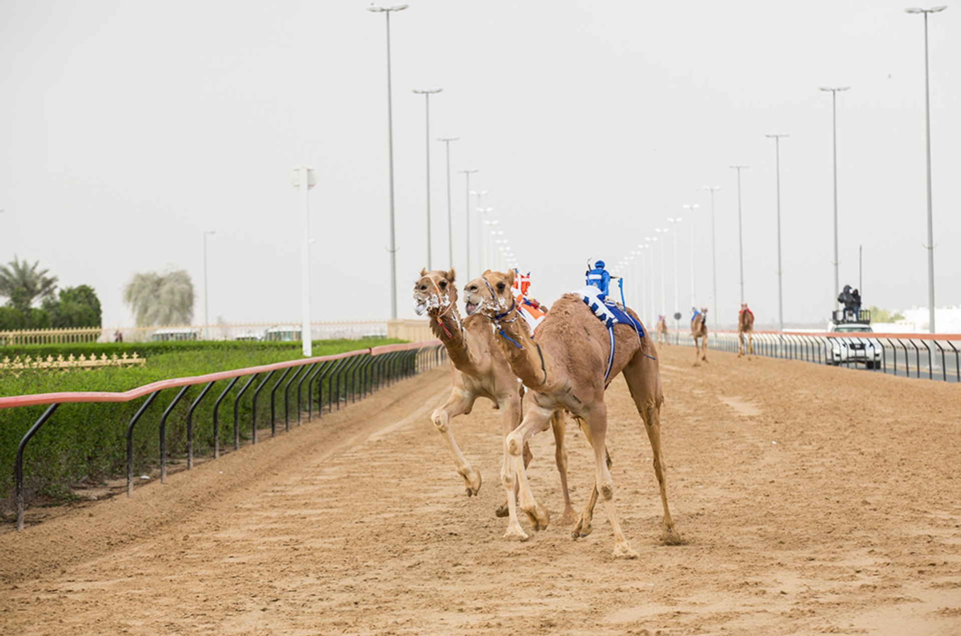 Best time for Camel Racing Season in Dubai